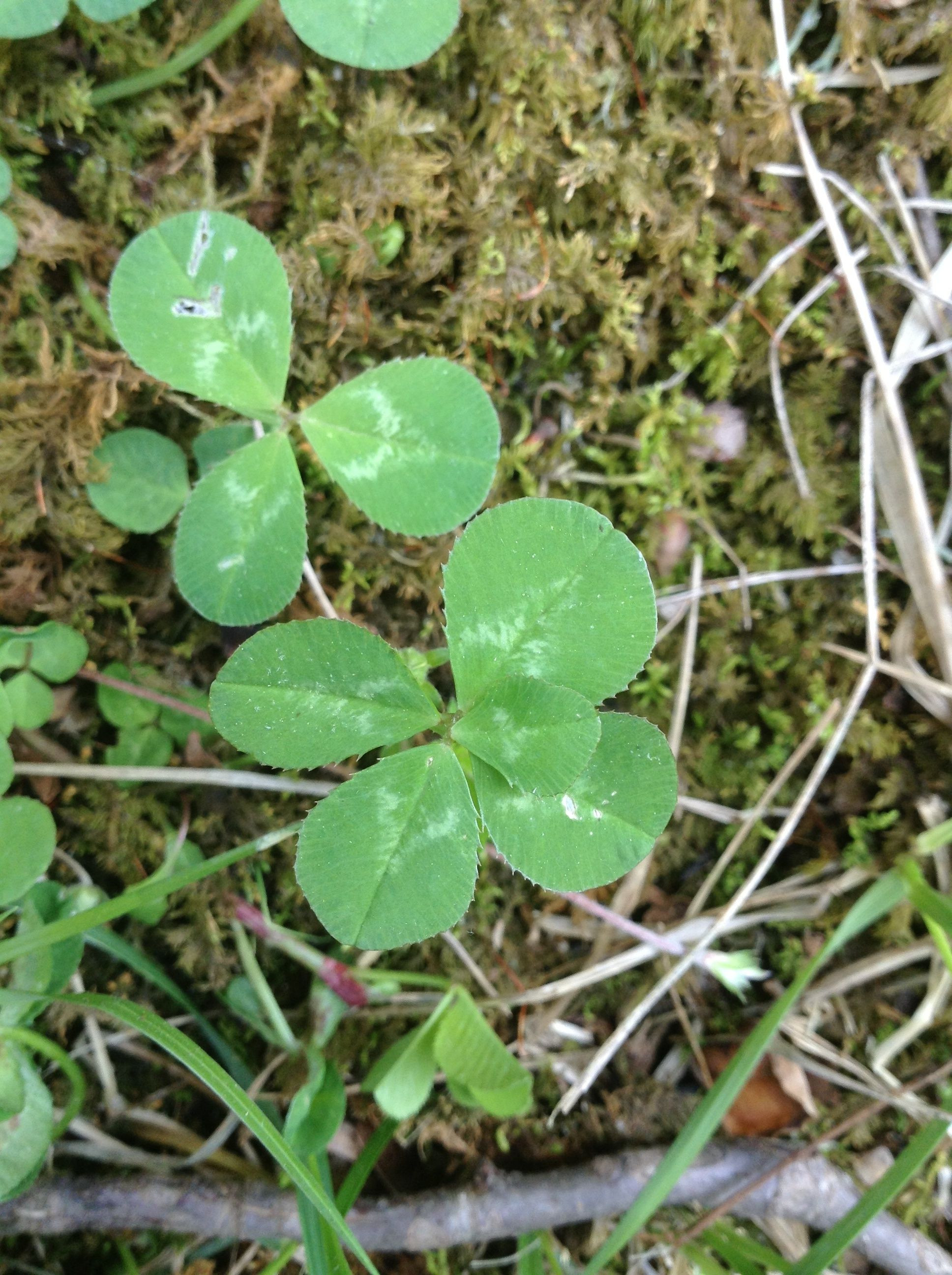 A rare five leaf clover this is even