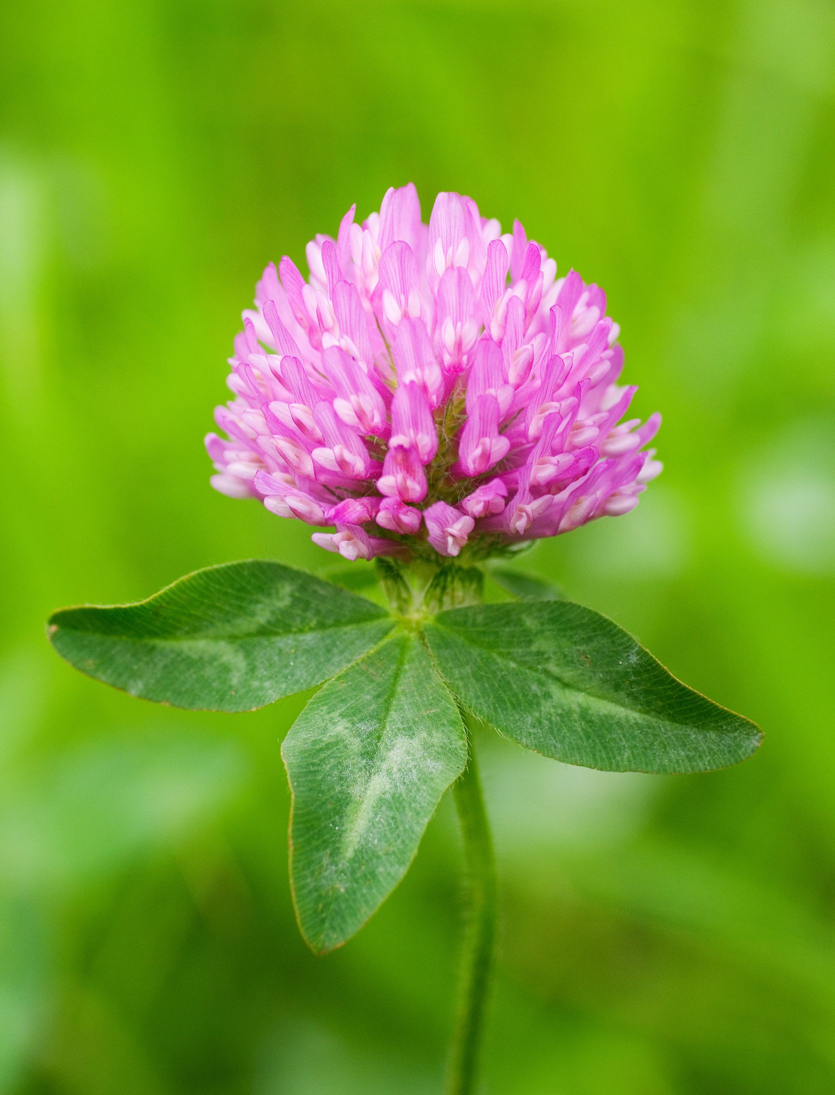 Red clover Trifolium pratense grown as a fodder crop it is a necessary element in a hay meadow an important nectar and pollen source for a number of