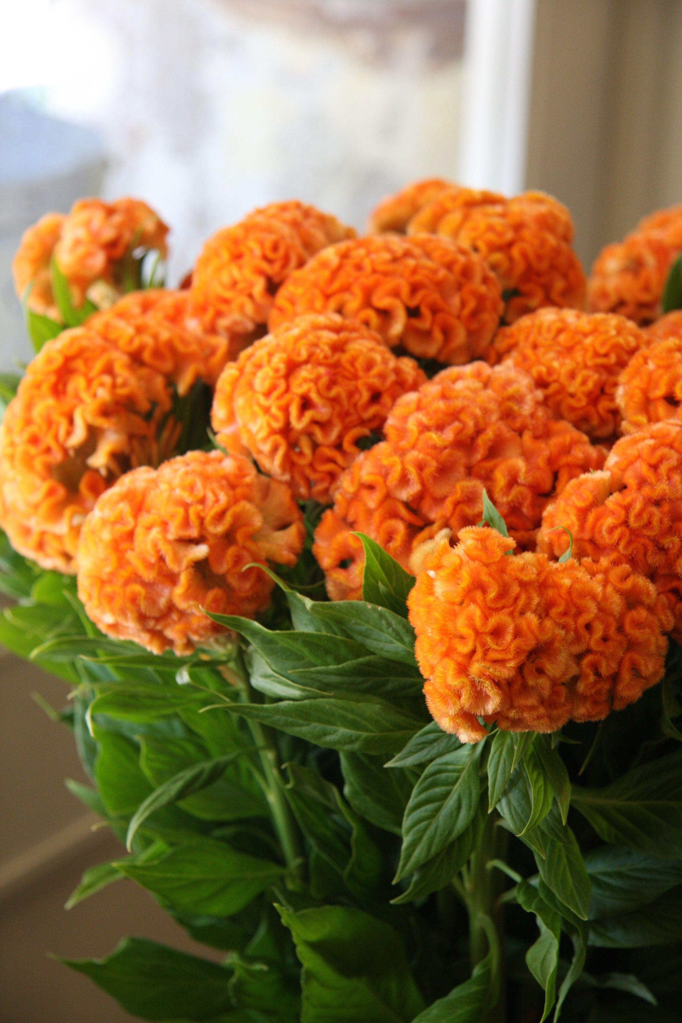 "Celosia cristata Orange queen carinhosamente conhecida por floristas o ""cérebro"""
