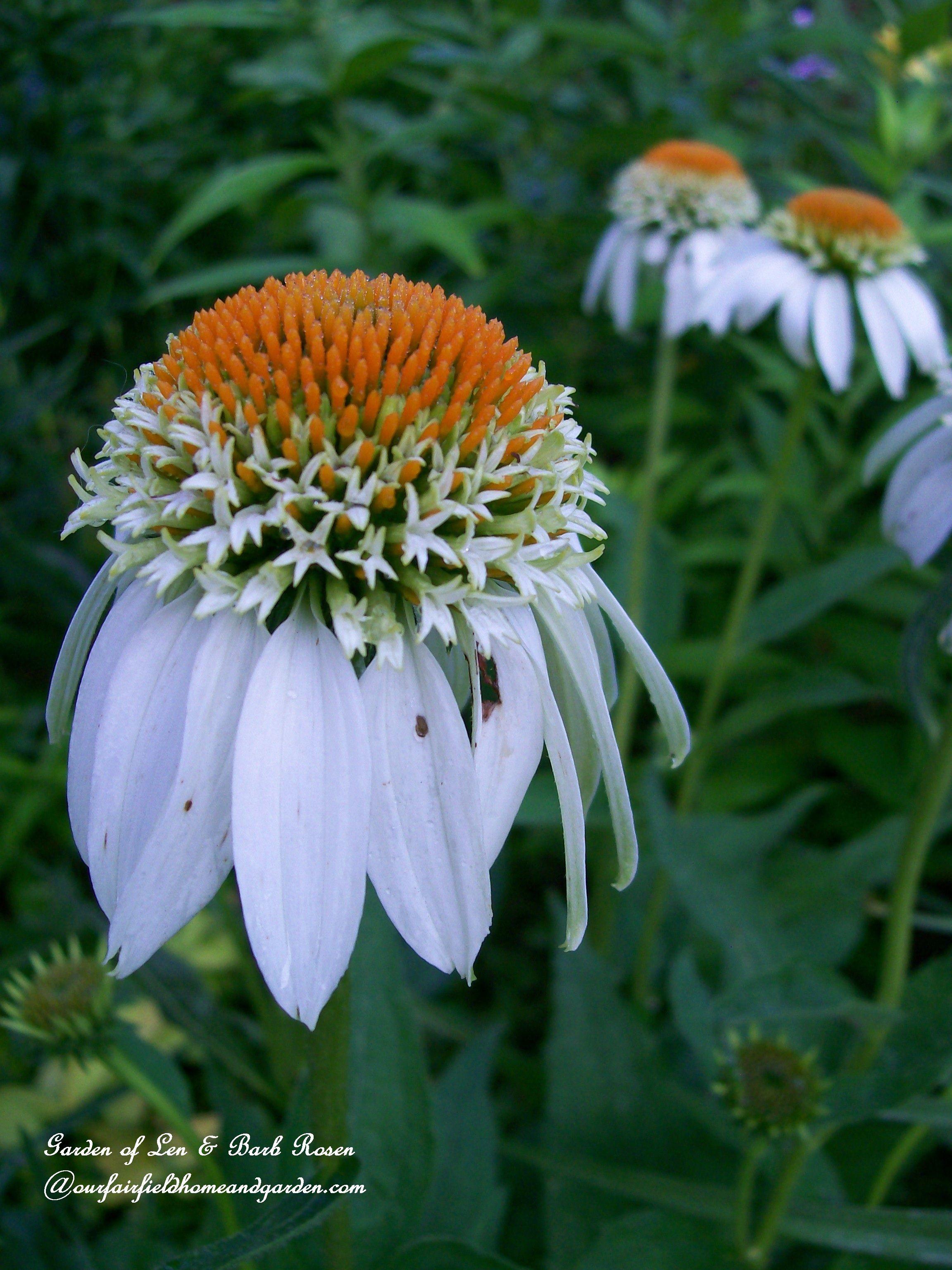 """White coneflower """"White Swan"""" garden of Len & Barb Rosen ourfairfieldhomeandgarden"""