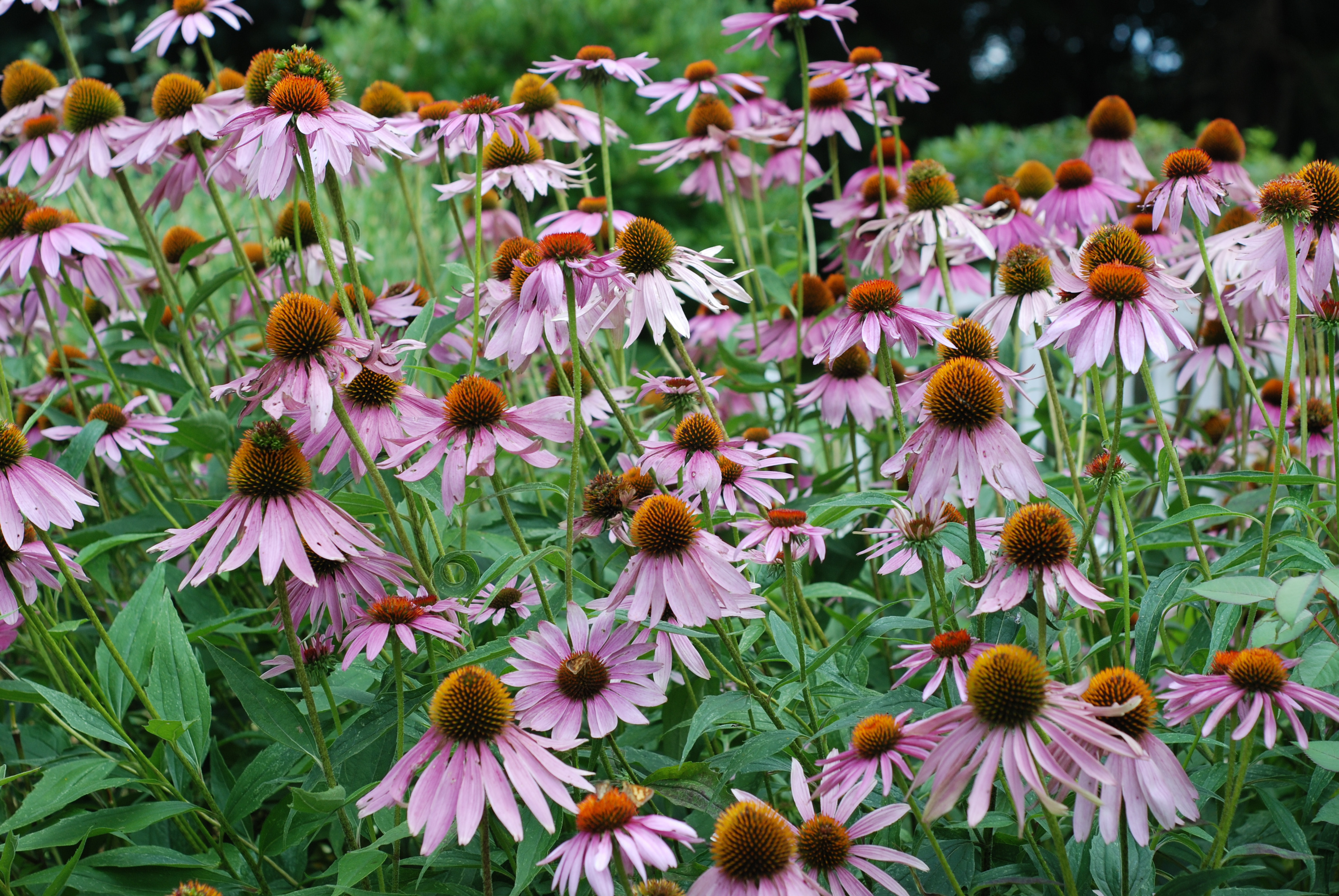 Purple Coneflower Echinacea purpurea 1 Copy