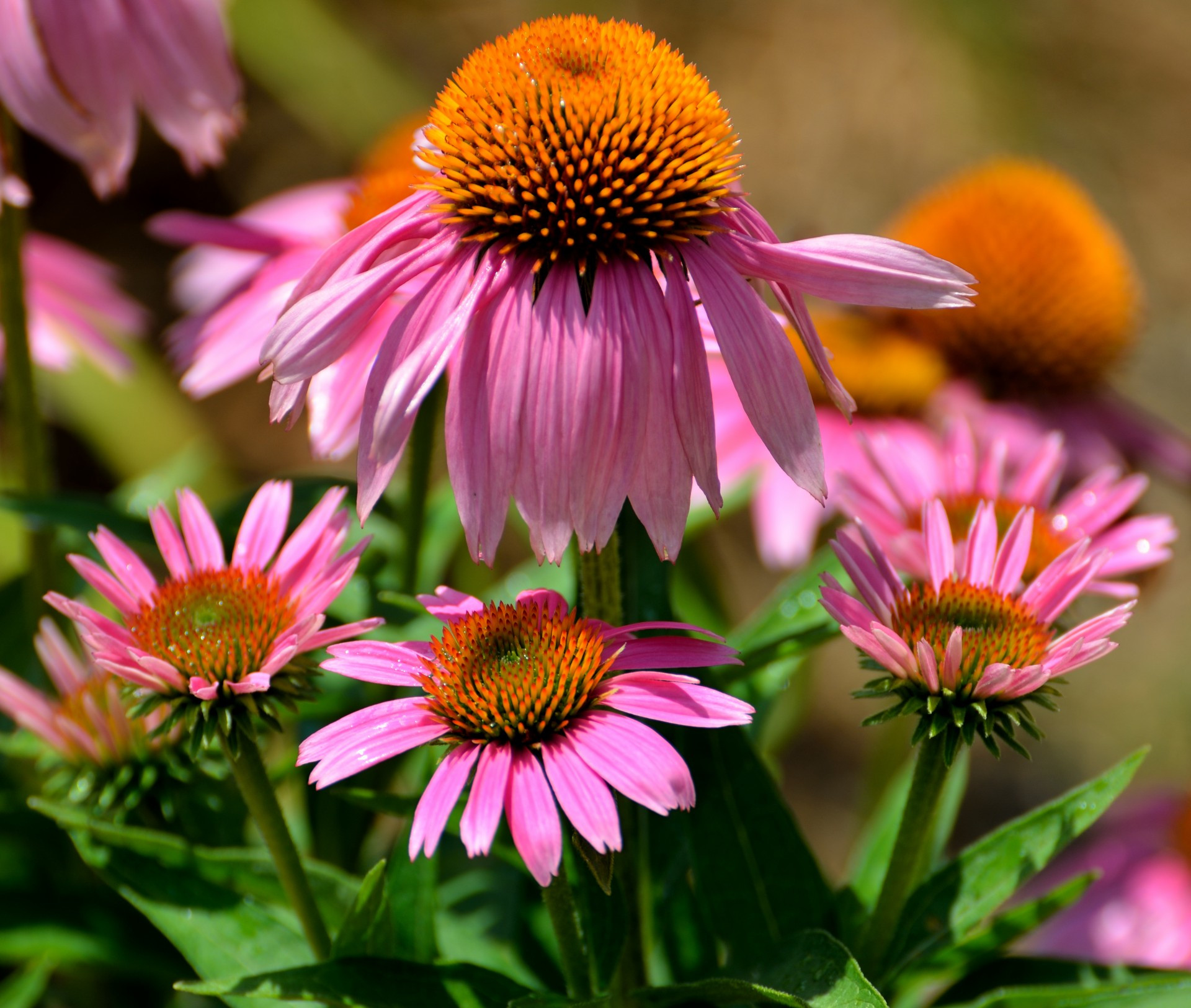 plant echinacea in sun or part shade