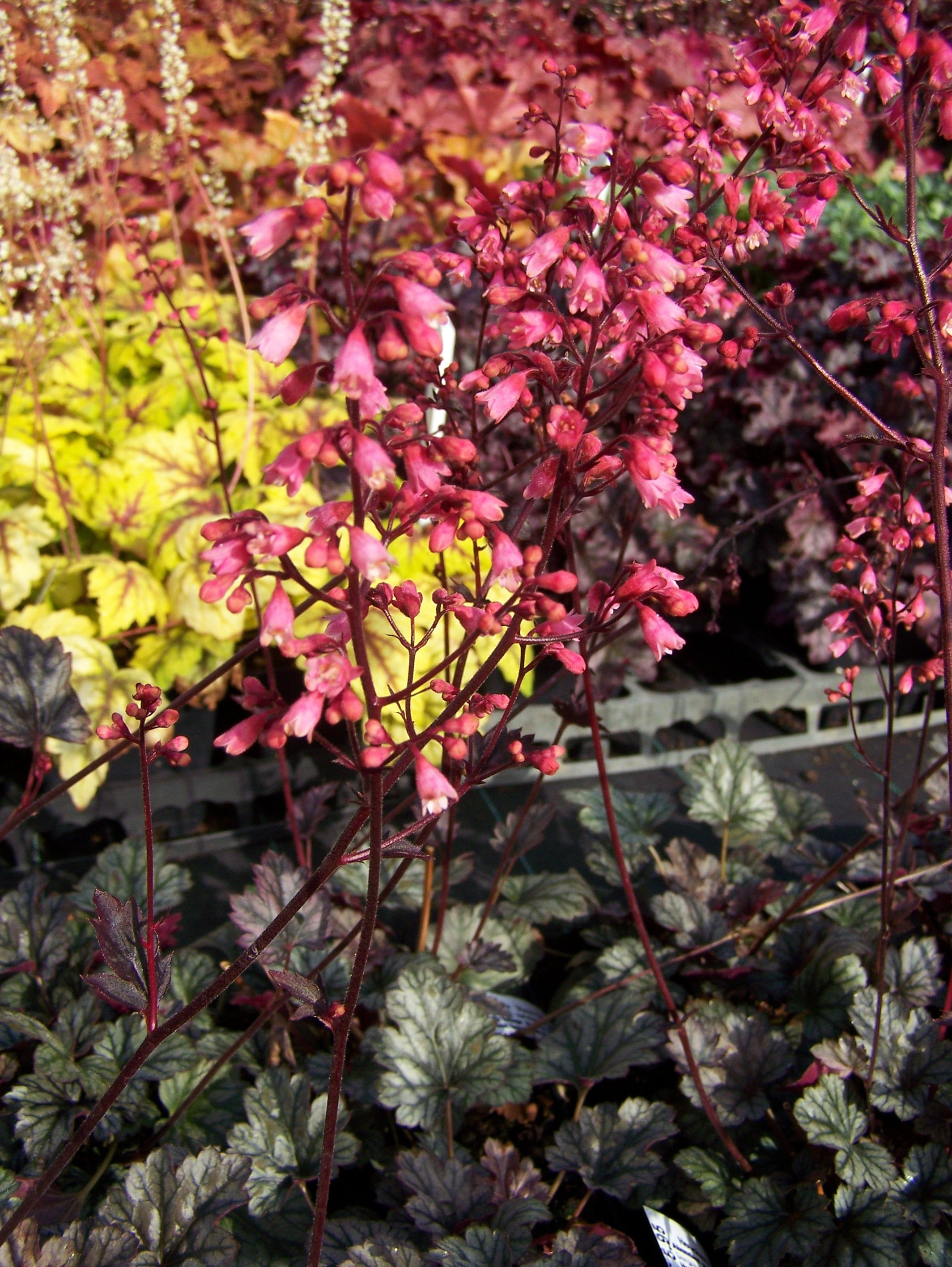 Heuchera in a wide range of varieties available by mail order