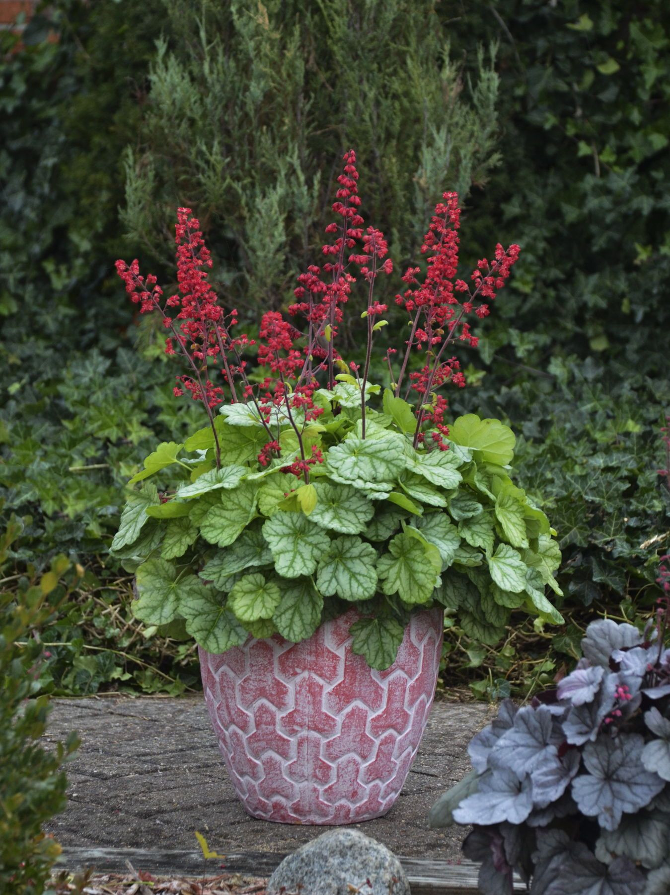 Dolce Appletini heuchera has bright red blooms which truly calls the butterflies and