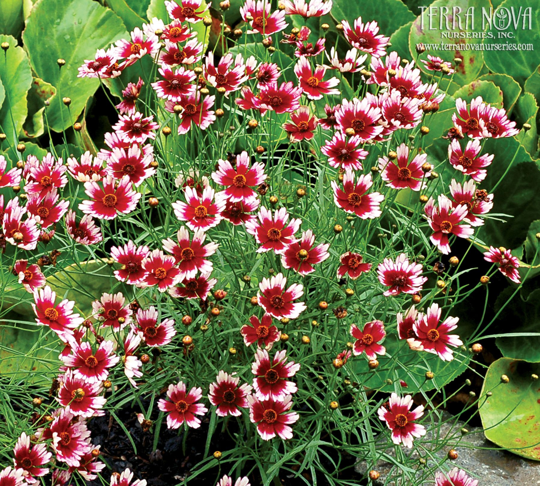 Coreopsis Fruit Punch A delicious two toned Coreopsis with a light pink edge and a red eye Forms a low mound Very free flowering flowers cover the