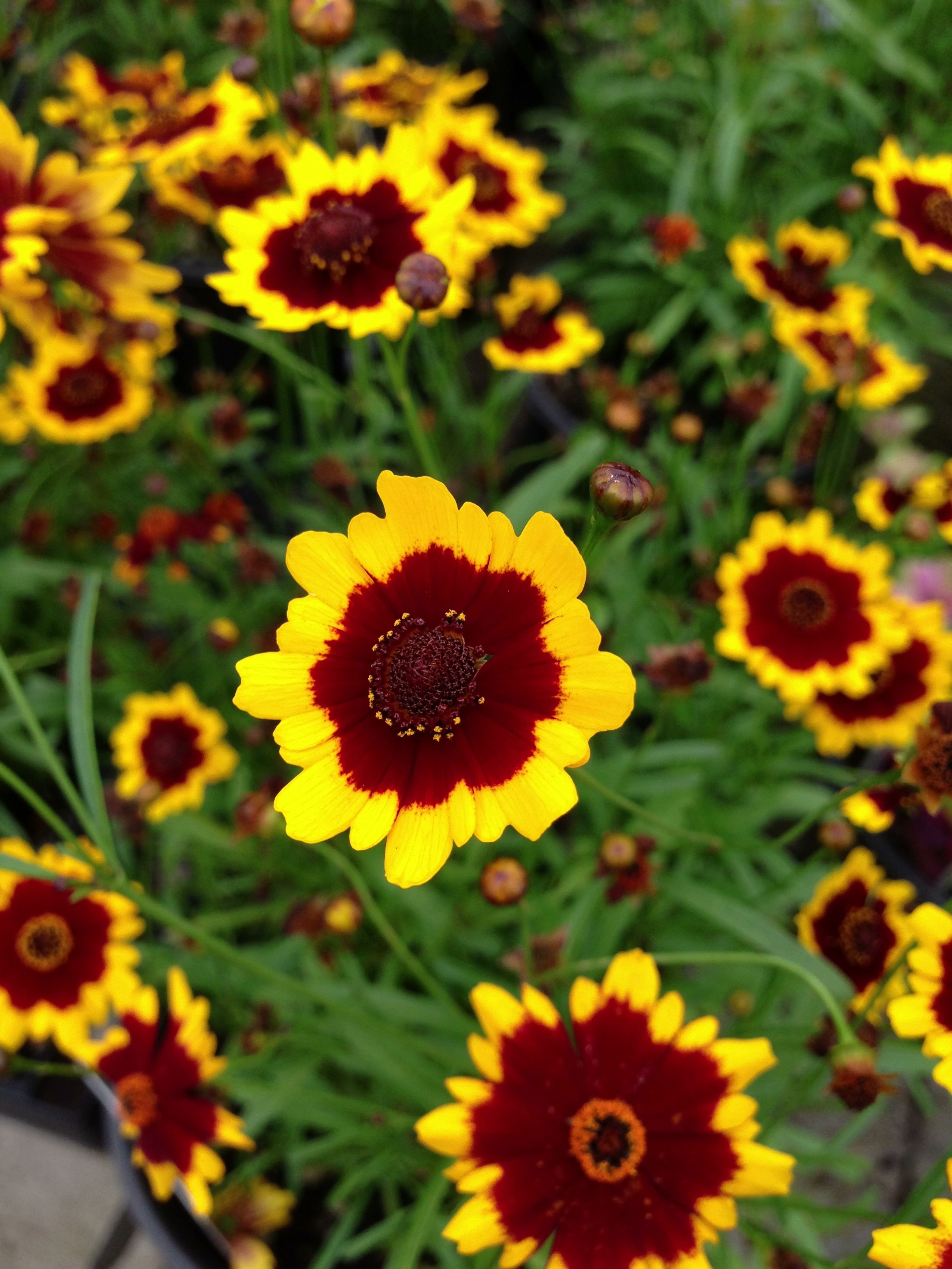 Beautiful Flowers · Salsa Coreopsis
