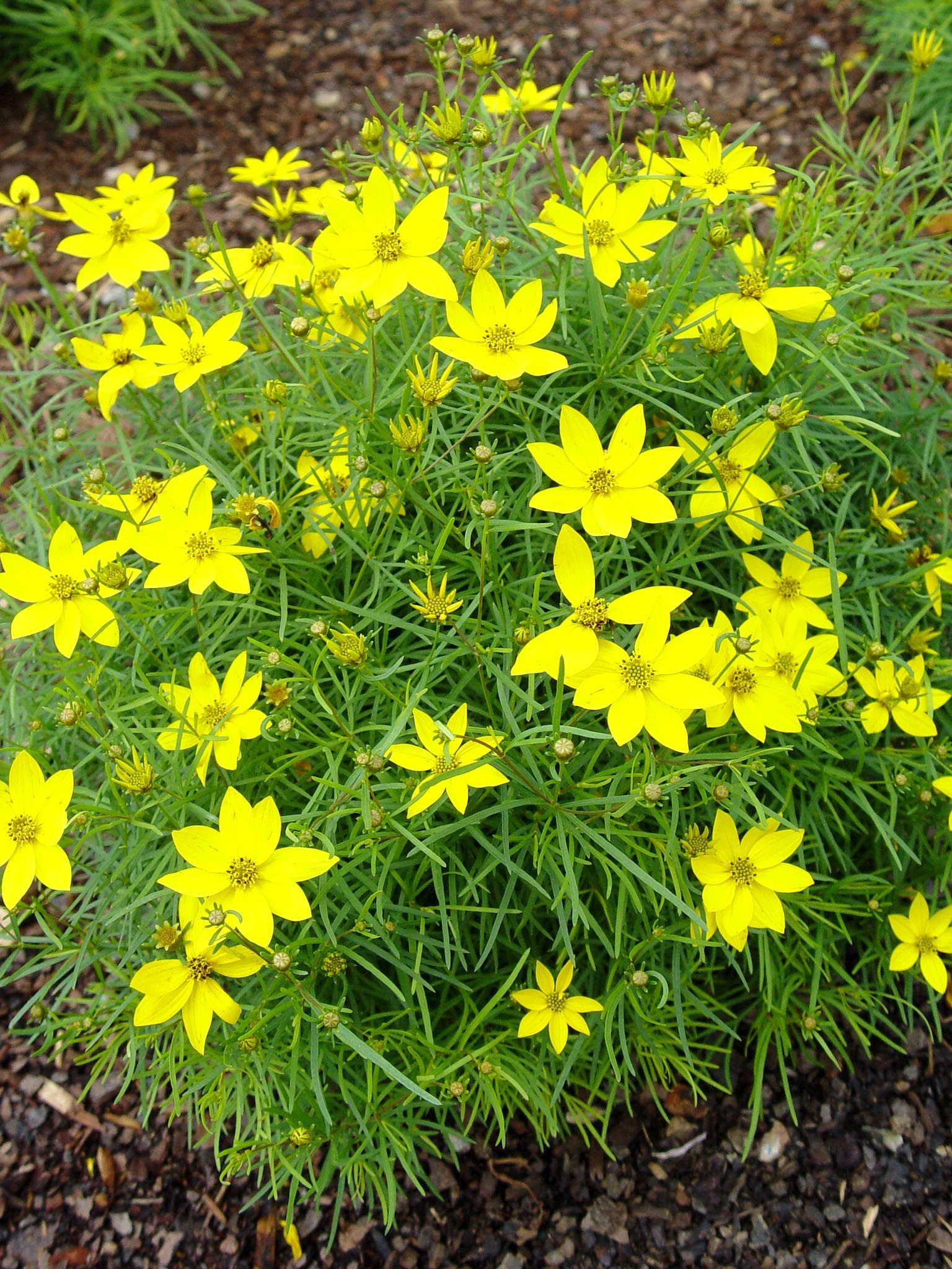 Coreopsis verticillata Zagreb threadleaf tickseed attracts butterflies