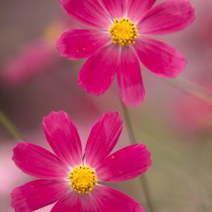 "Cosmos Flower Lovely Nut Nut ç"" 像 Flowers Pinterest"
