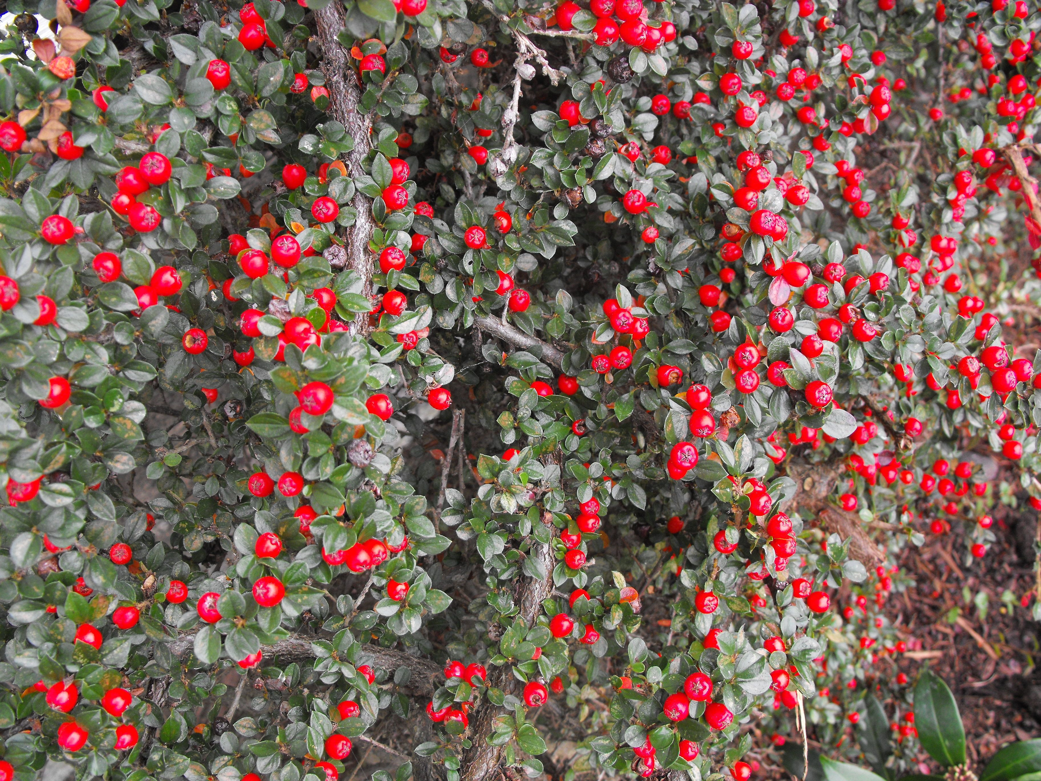 Fall color red berries on cotoneaster