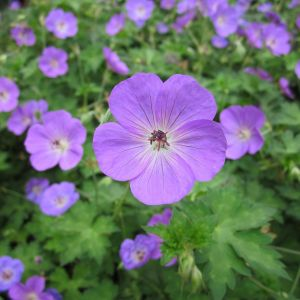 Cranesbill Geranium Flower Inspirational What S In Bloom – Life On the Greenway