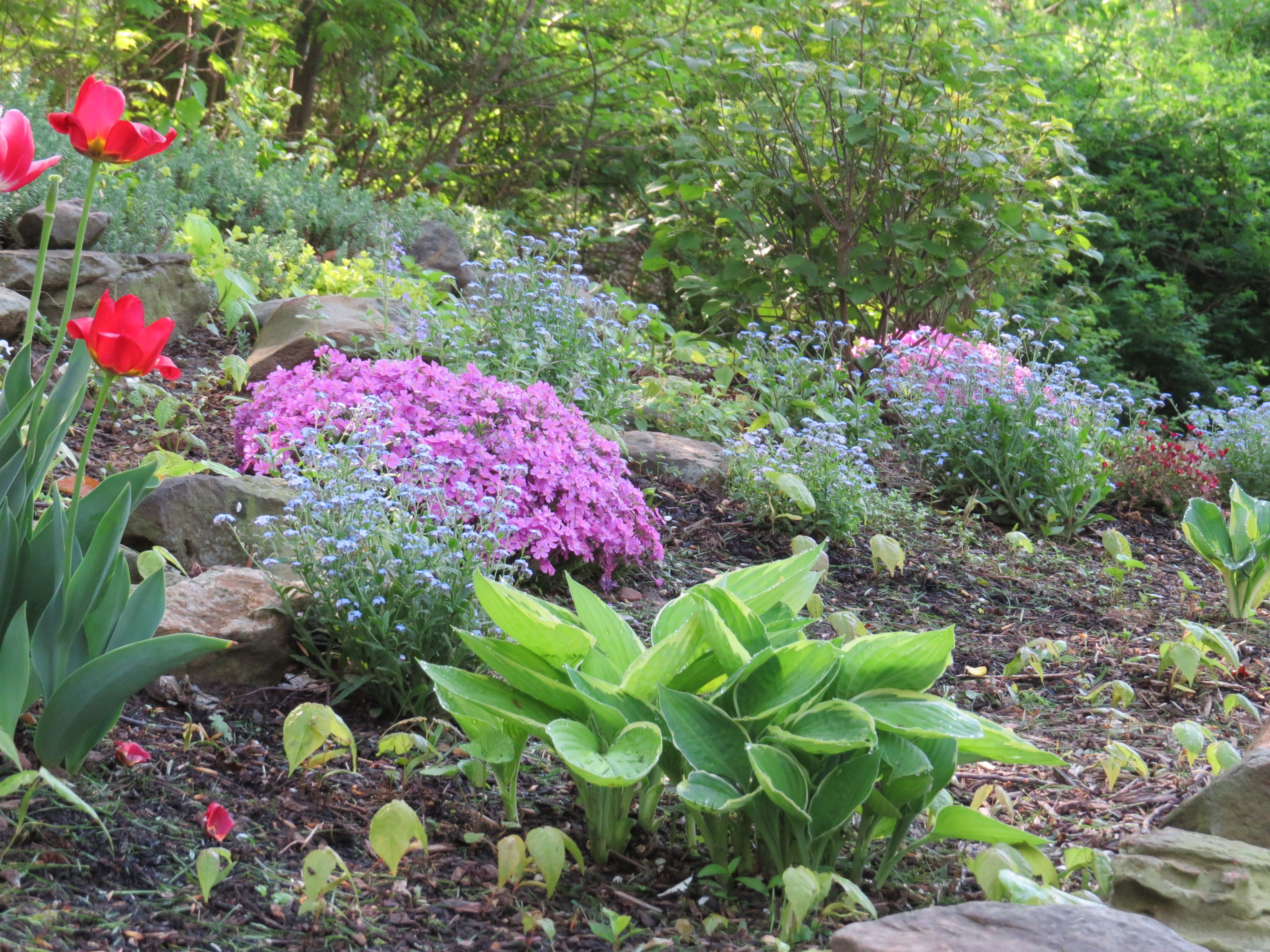 Rock garden in shade Hosta creeping phlox and for me nots