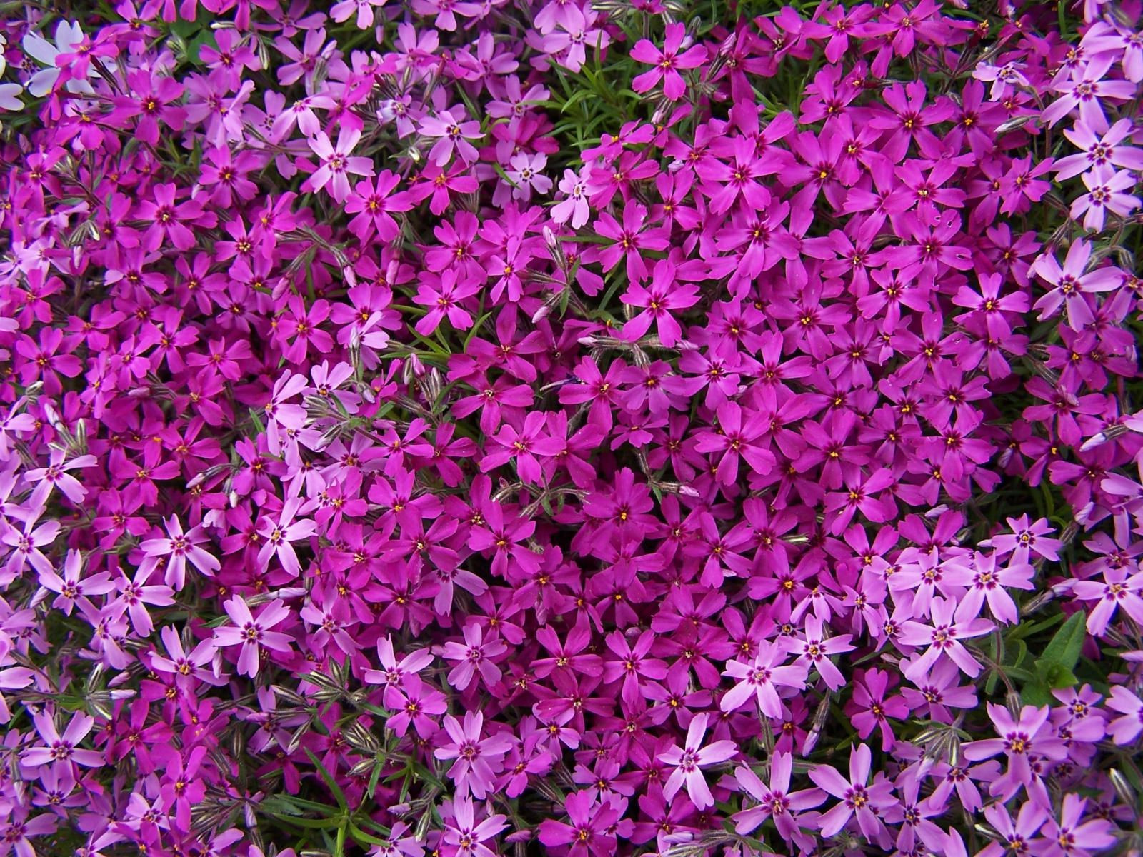 Creeping Phlox Flowers Make sure to visit GardenAnswers and our free plant idenfication app