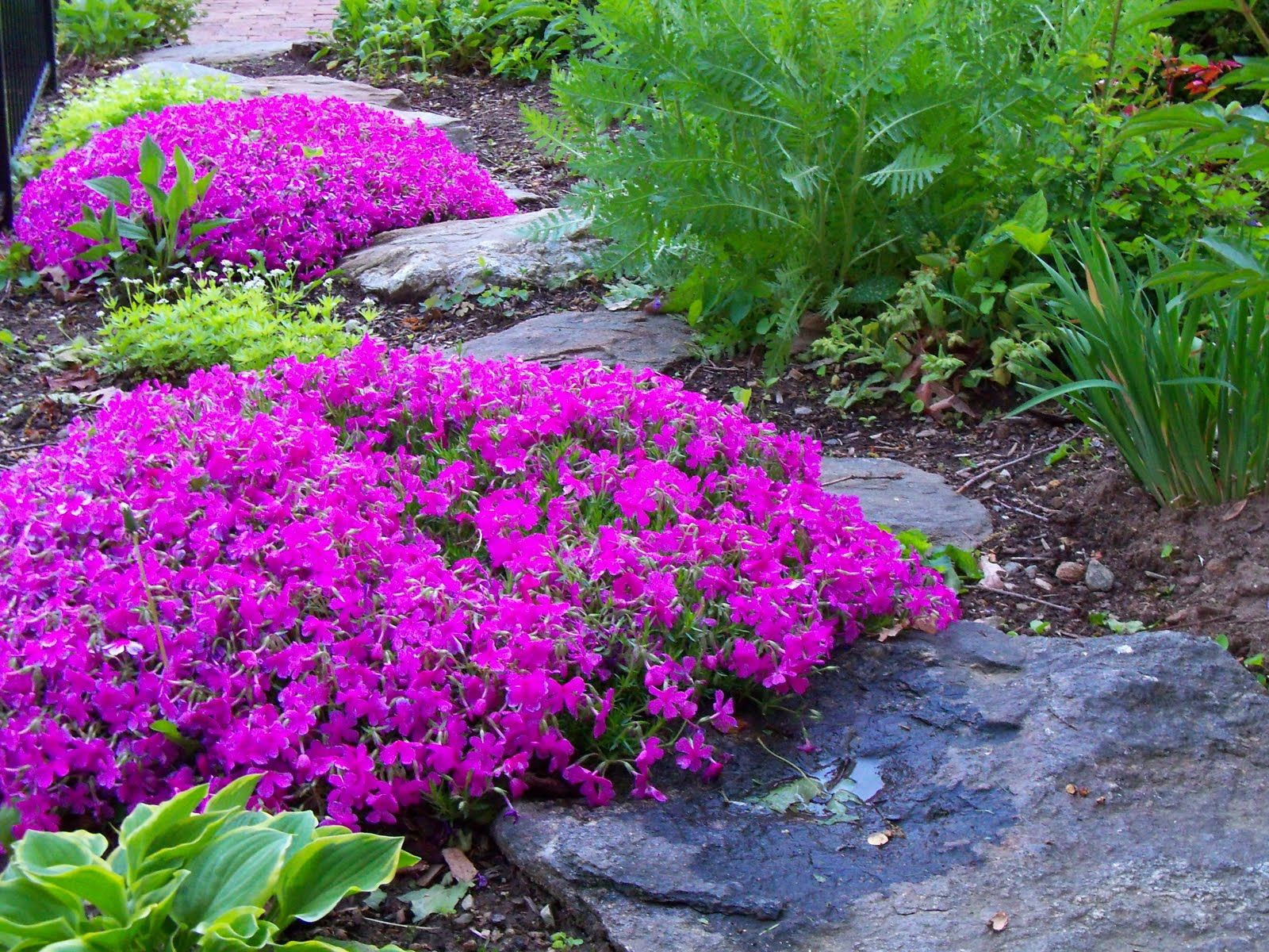 Creeping phlox ground cover mma used to grow this to fill in her flower beds flowerbeds