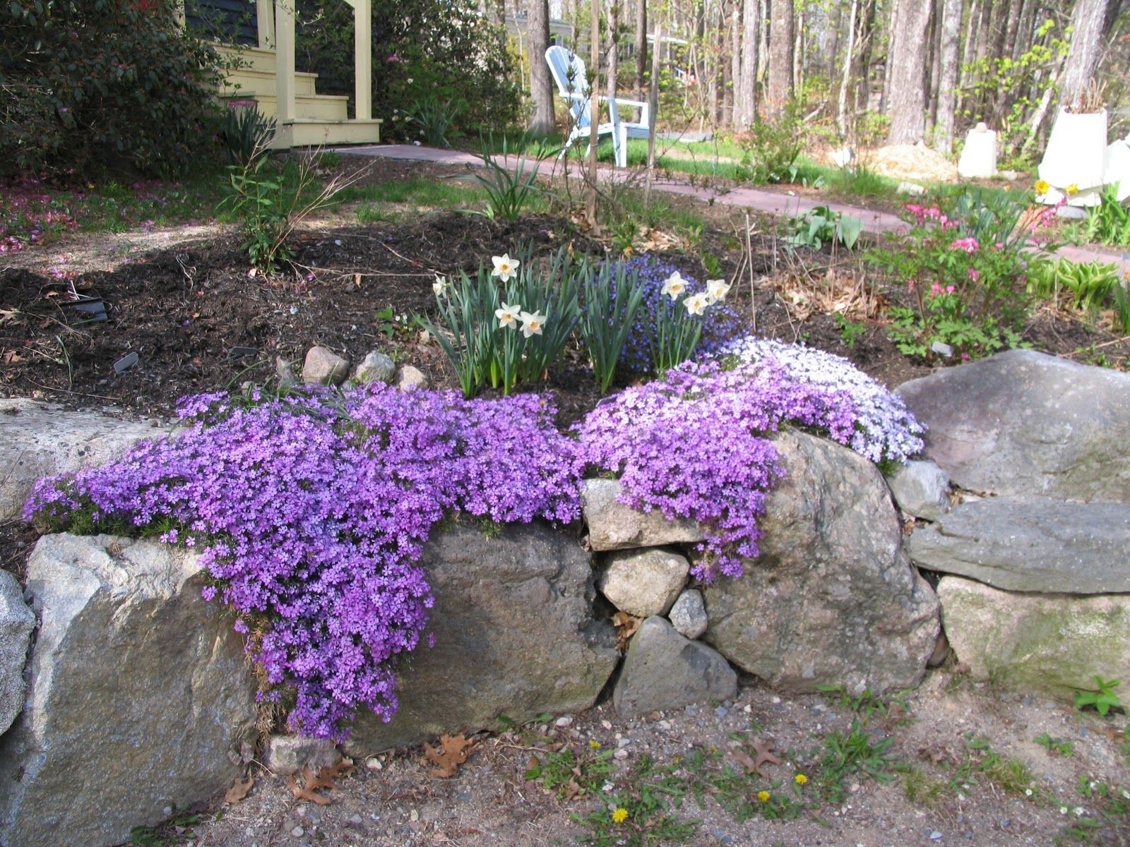 Creeping Phlox Sun ish The Creeping Phlox grows about 4 inches tall stays green all year in mild climates and gives masses of color in early spring