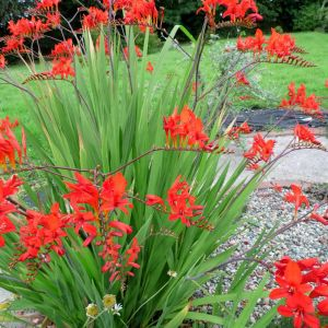 Crocosmia Lucifer Flower New Crocosmia Lucifer I Have This In My Garden It S Beautiful and