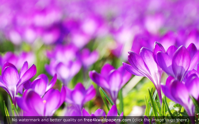 Flower Flowers Beautiful Wallpaper for Desktop Luxury Purple Crocus Flowers Hd Wallpaper Desktop Wallpapers Flower