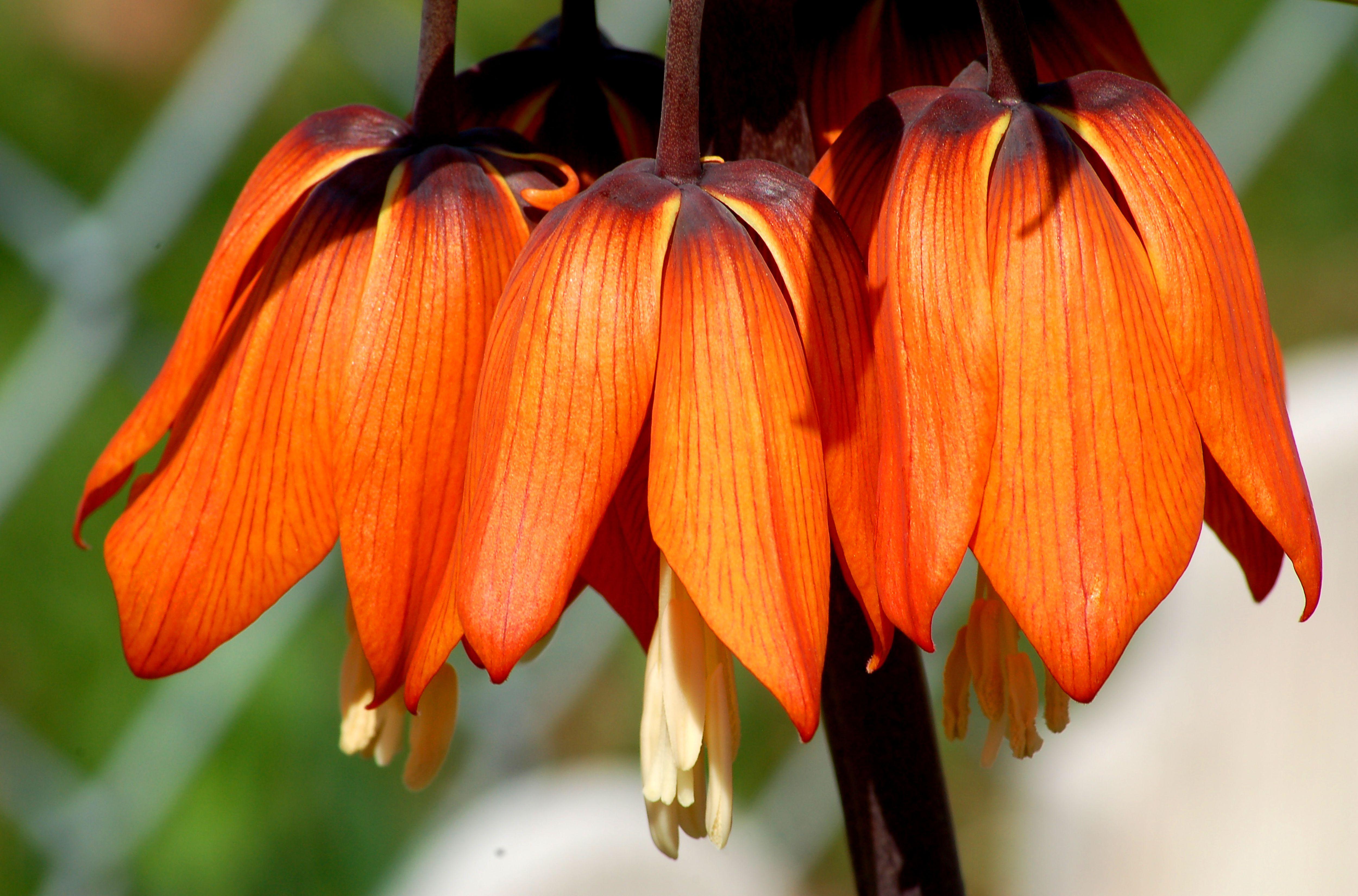 Fritillaria blooms big 56a f9b58b7d0dd4467