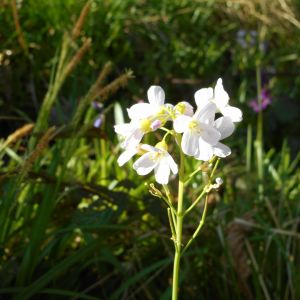Cuckoo Flower Flower Fresh Cuckoo Flower or Lady S Smock Cardamine Pratensis Hollybush Wood