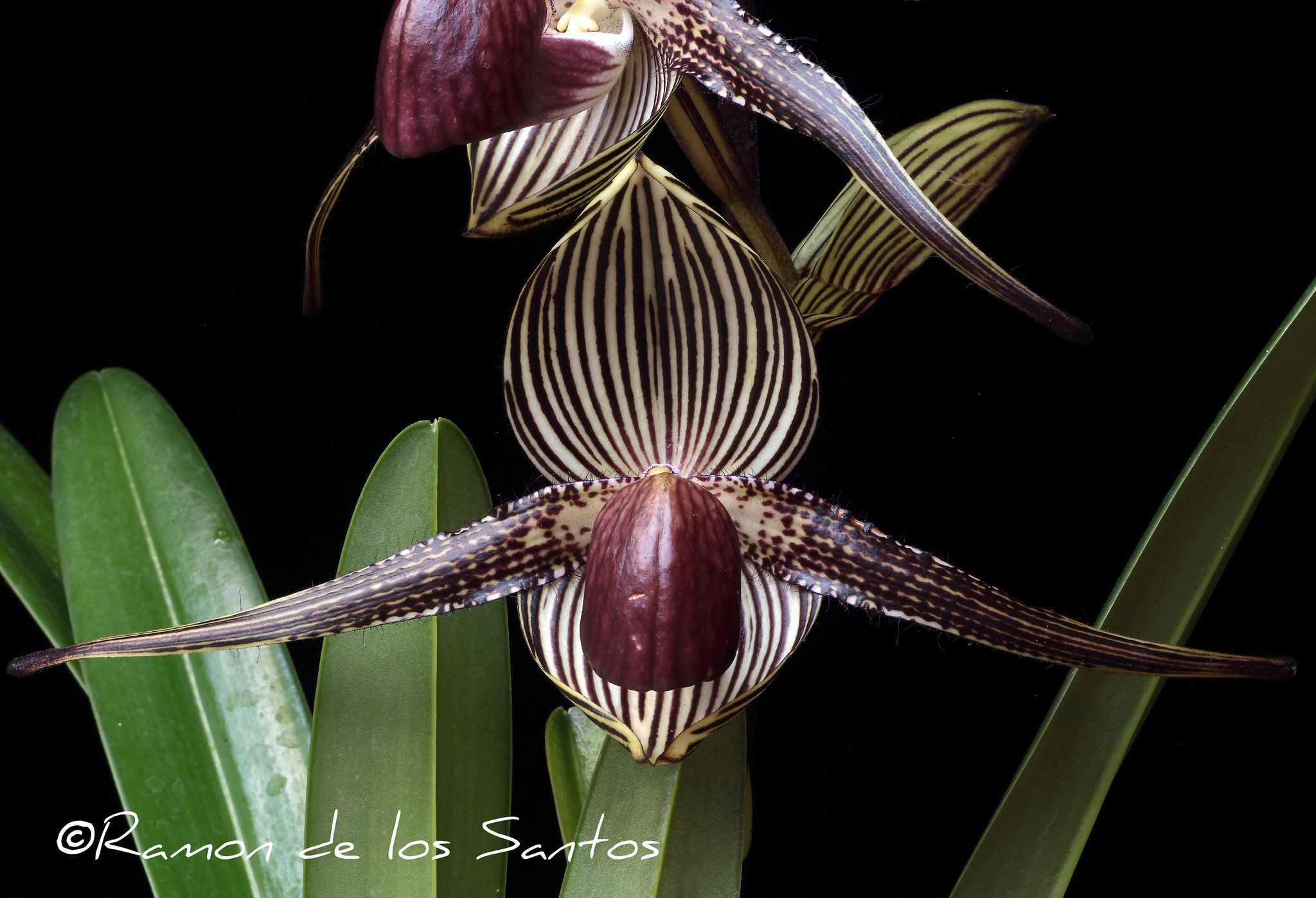Flower Detail of Slipper orchid Paphiopedilum rothschildianum