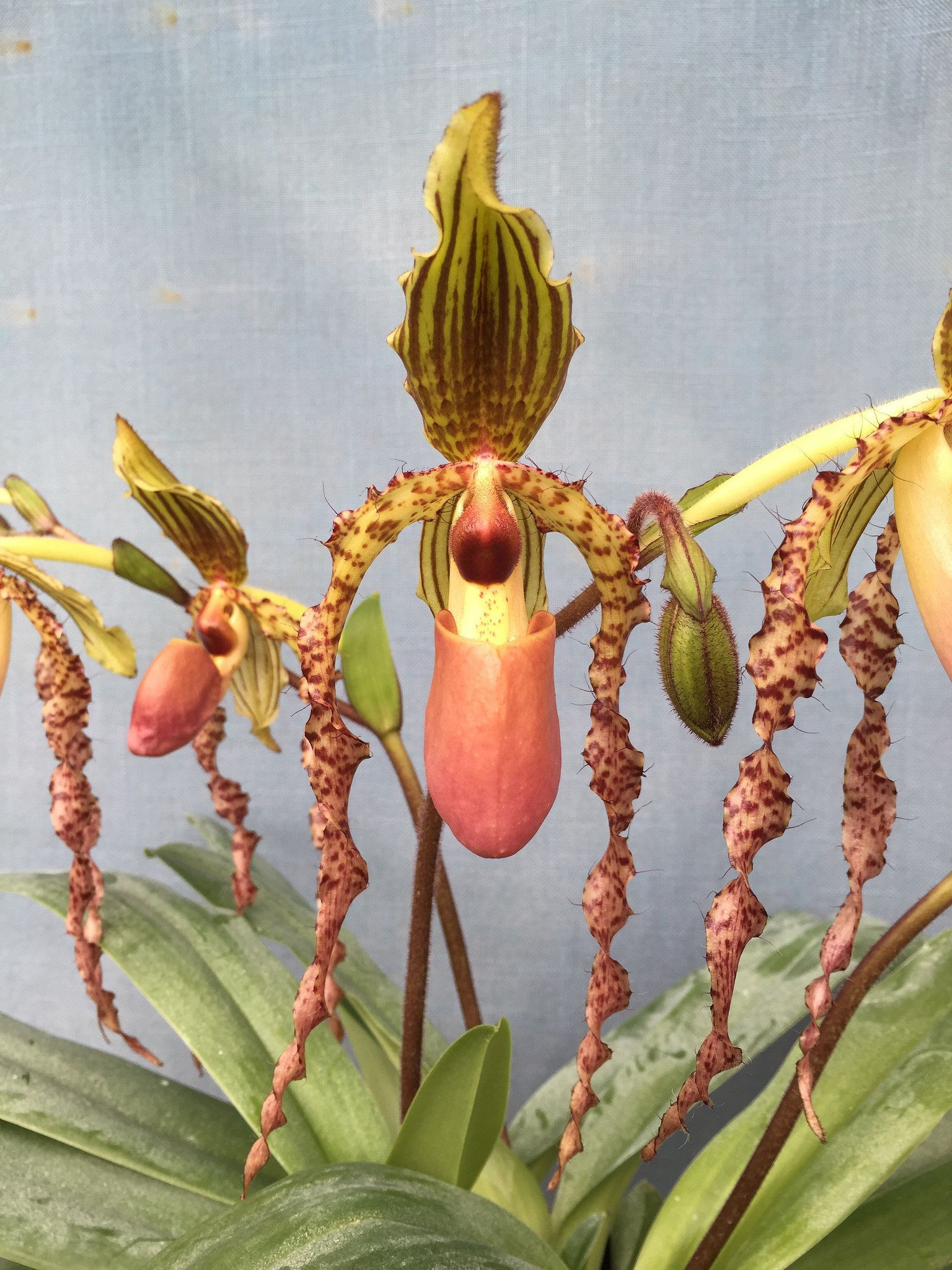 Slipper orchid Paphiopedilum Landmark Cry Baby Paphiopedilum glaucophyllum x Paphiopedilum sanderianum Flickr Sharing
