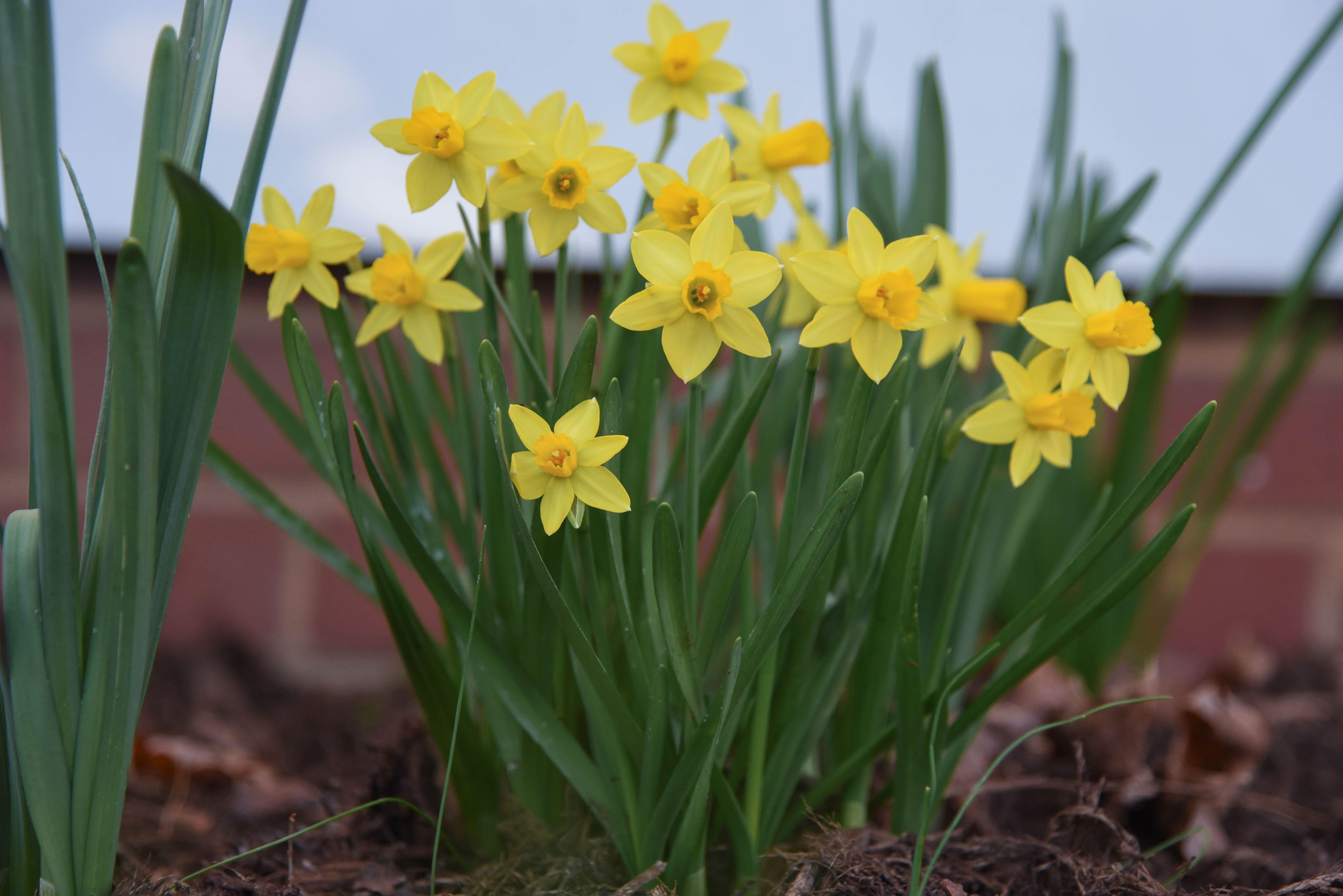 Daffodil Flowers Spring Garden Gardening Plants graphy Macro Bulbs