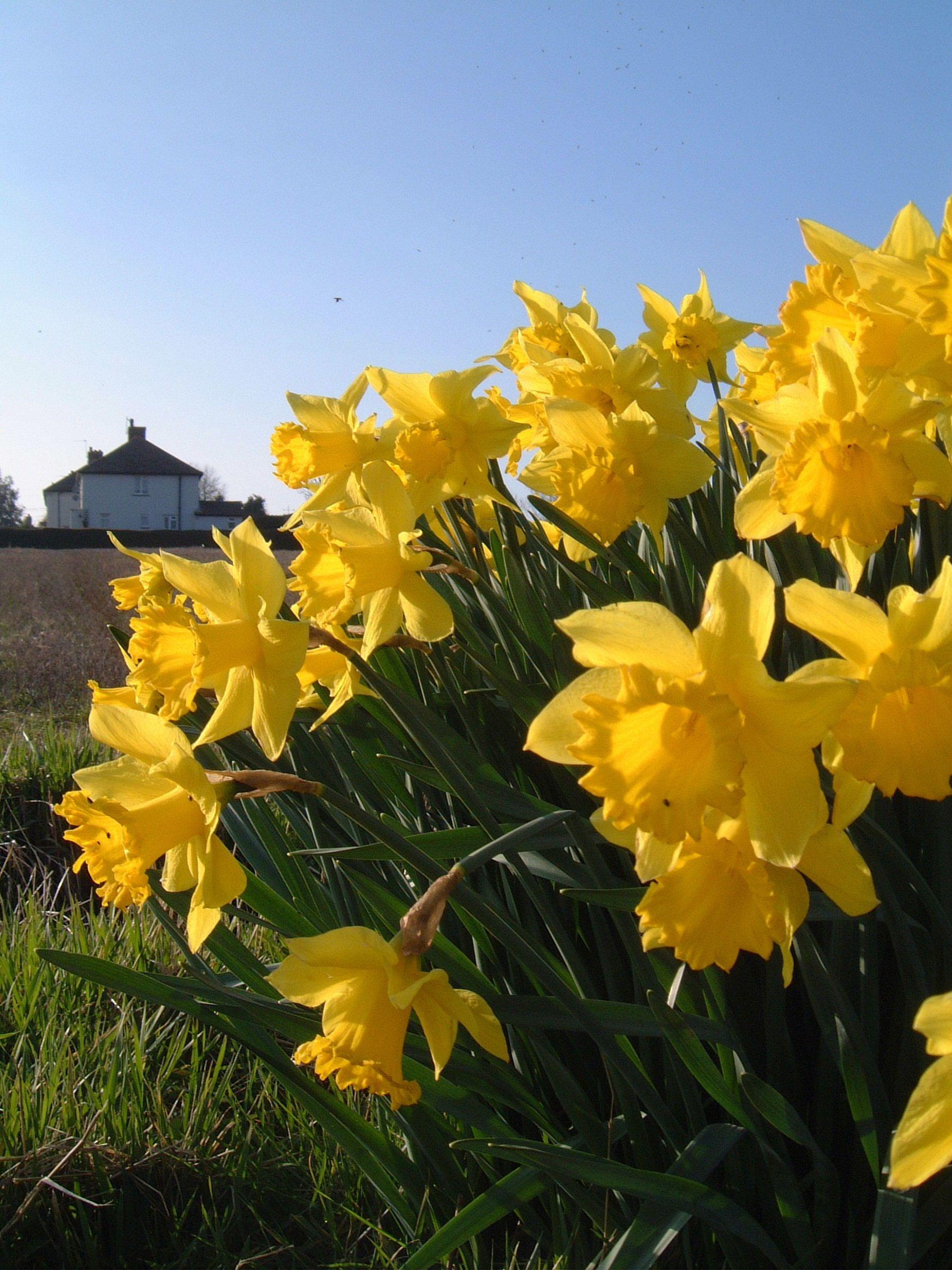 Flowers · Daffodils