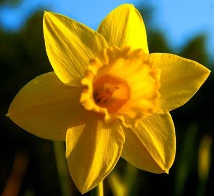 daffodil - photo #3