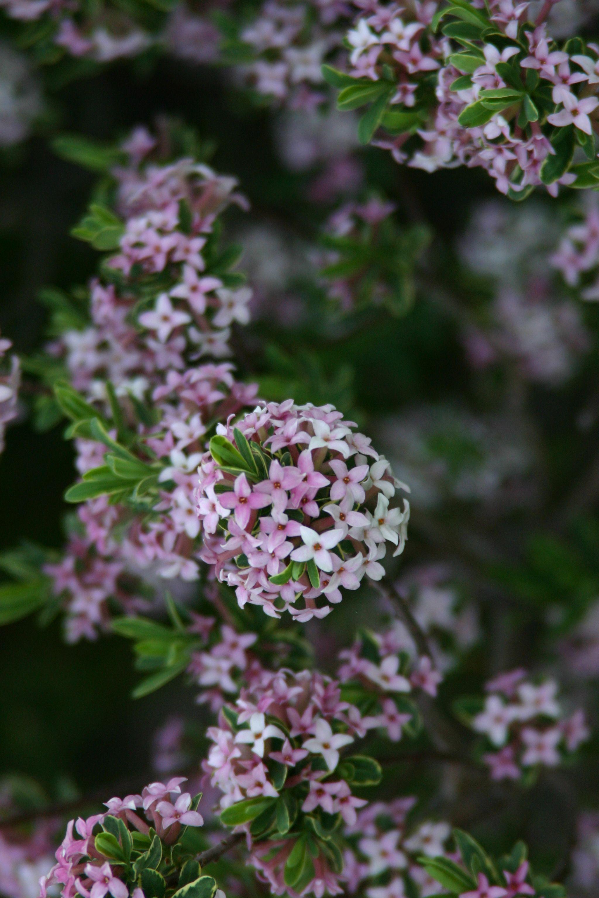 Carol Mackie daphne Daphne x burkwoodii e of the best smelling flowers