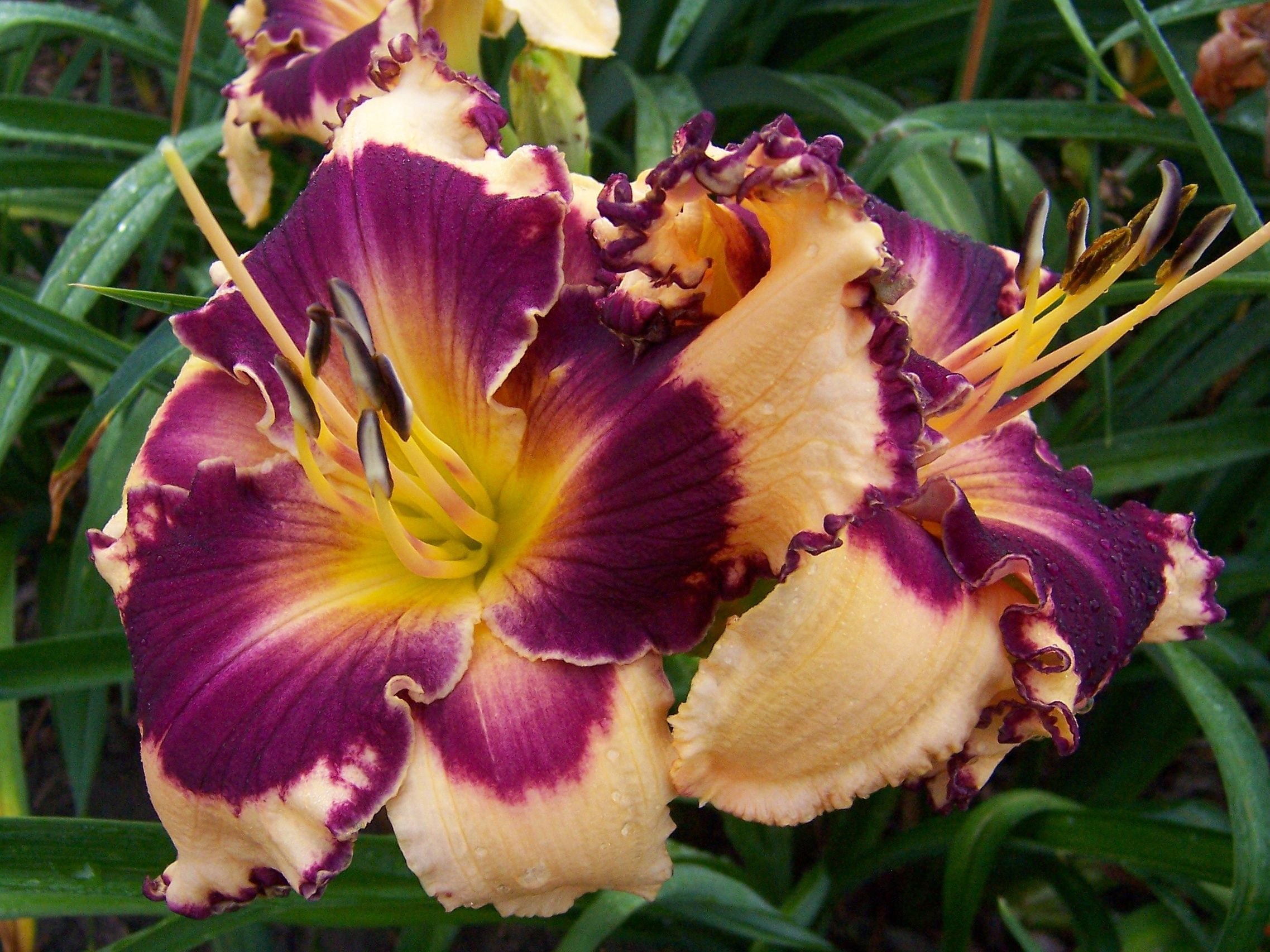 Image result for Sabine Bauer daylily