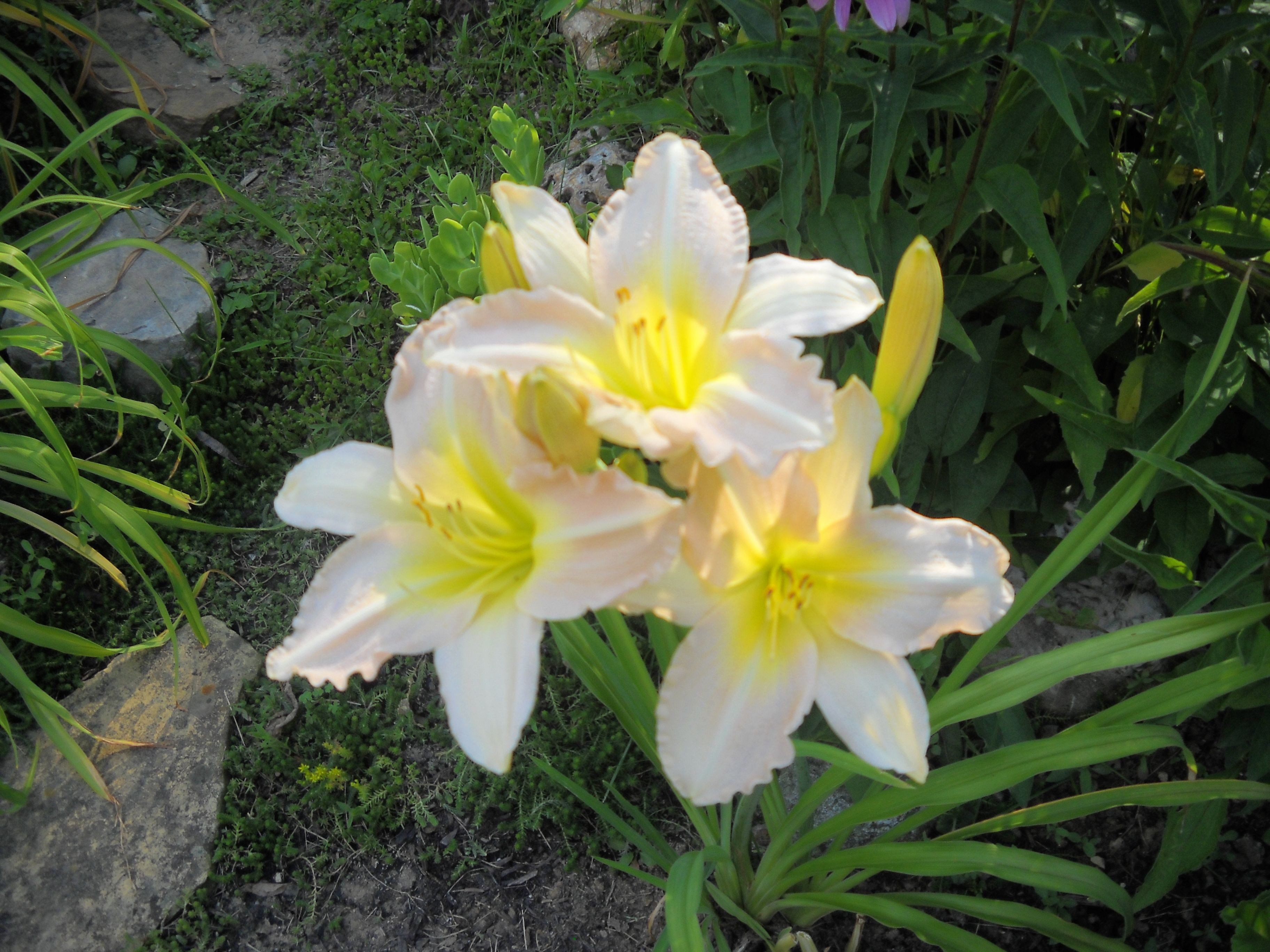 """Pink Whisper"" Daylily in my garden """