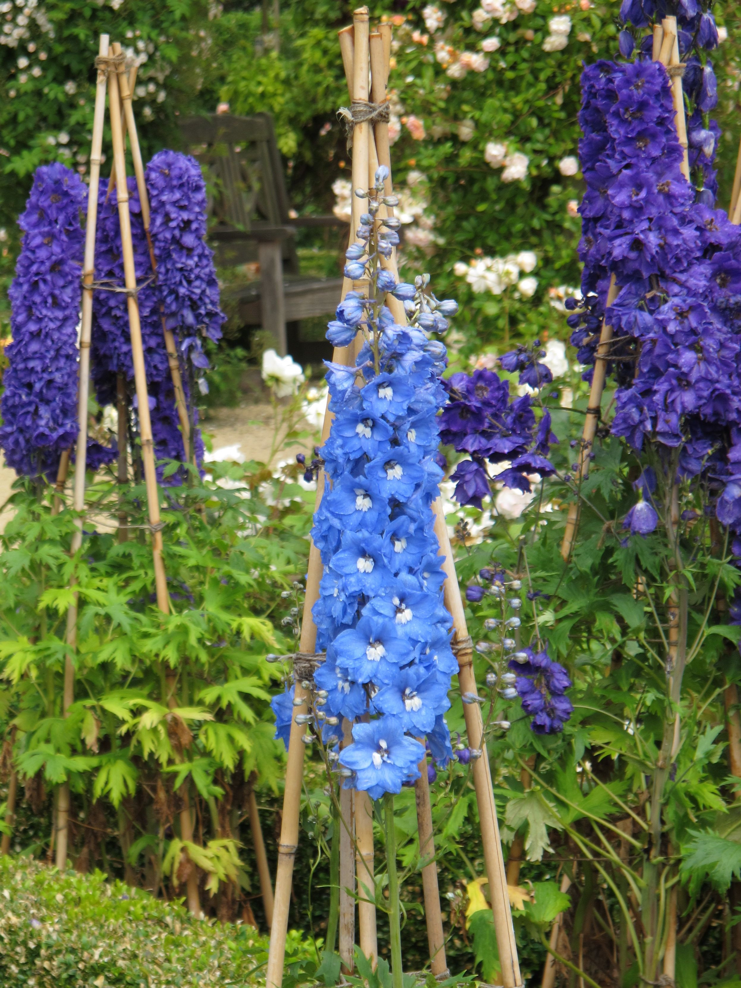 Delphiniums mmmmmmmm Can t wait til mine are up and blooming