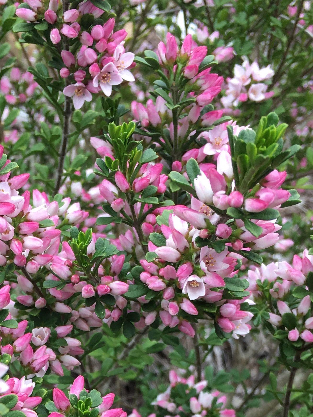 Sticky Boronia anemonifolia Rare Tasmanian flora
