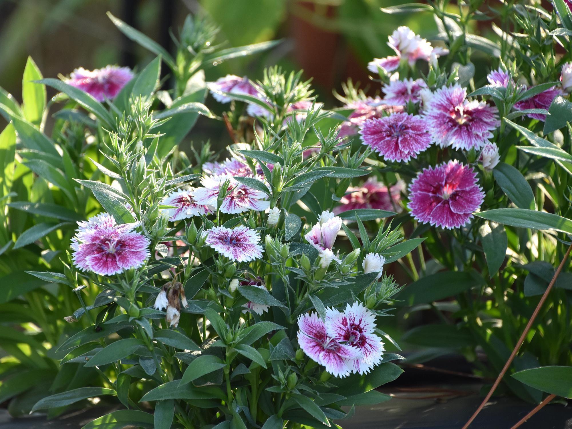 Plant Telstar or Super Parfait dianthus now