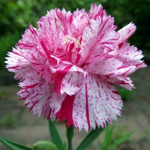 Dianthus Flower Beautiful Red and White Striped Carnations Means A Refusal
