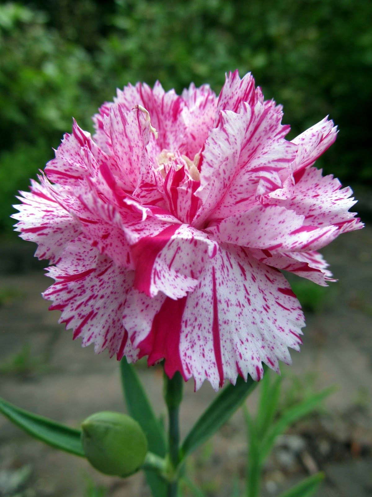Red and white striped carnations means a refusal