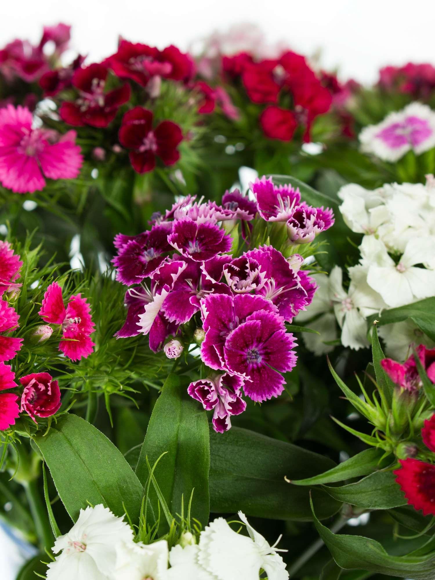 Rosa Bartnelken als Schnittblumen Saison im Mai Juni und Juli schnittblumen blumen