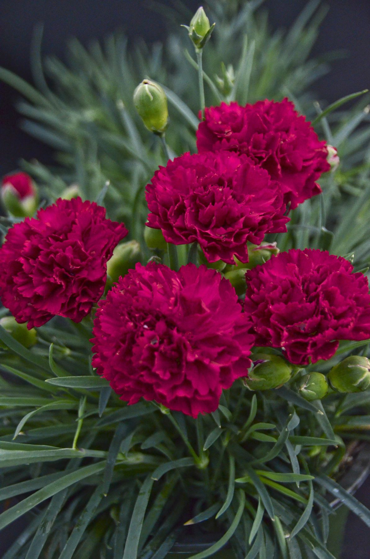 Fruit Punch Cranberry Cocktail produces carnation like double hot magenta pink flowers atop a low mound of grey green foliage