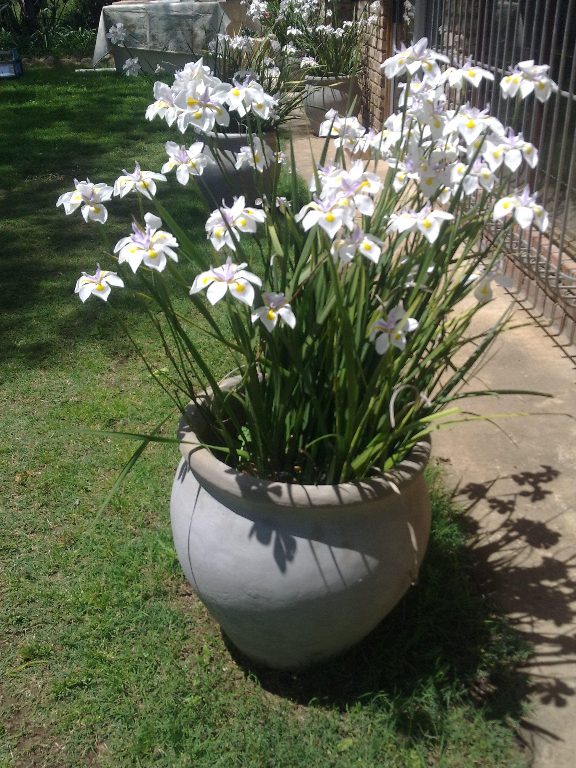 Dietes grandiflora Dit groei voor woonstel se deur in n pot Sodra dit wil begin reen dan blom plant Blom 22 Des 2013 Re n 23 12 013