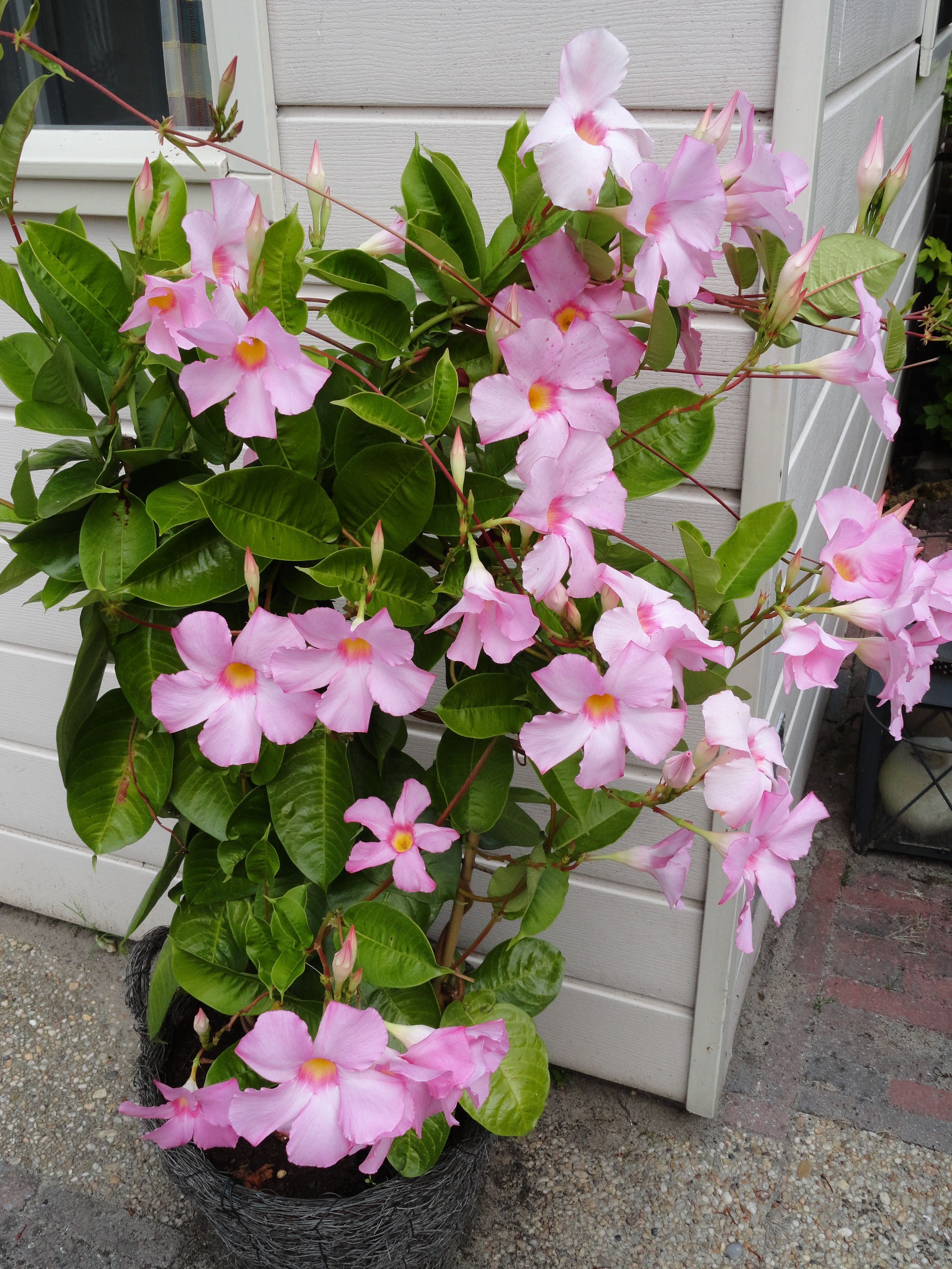 Dipladenia Dipladenia is in the Mandevilla family but has a decidedly different growth pattern Mandevilla