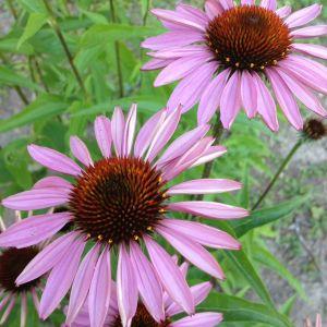 Echinacea Flower Fresh Echinacea Magnus ⭐ Flowers ⭐ Pinterest