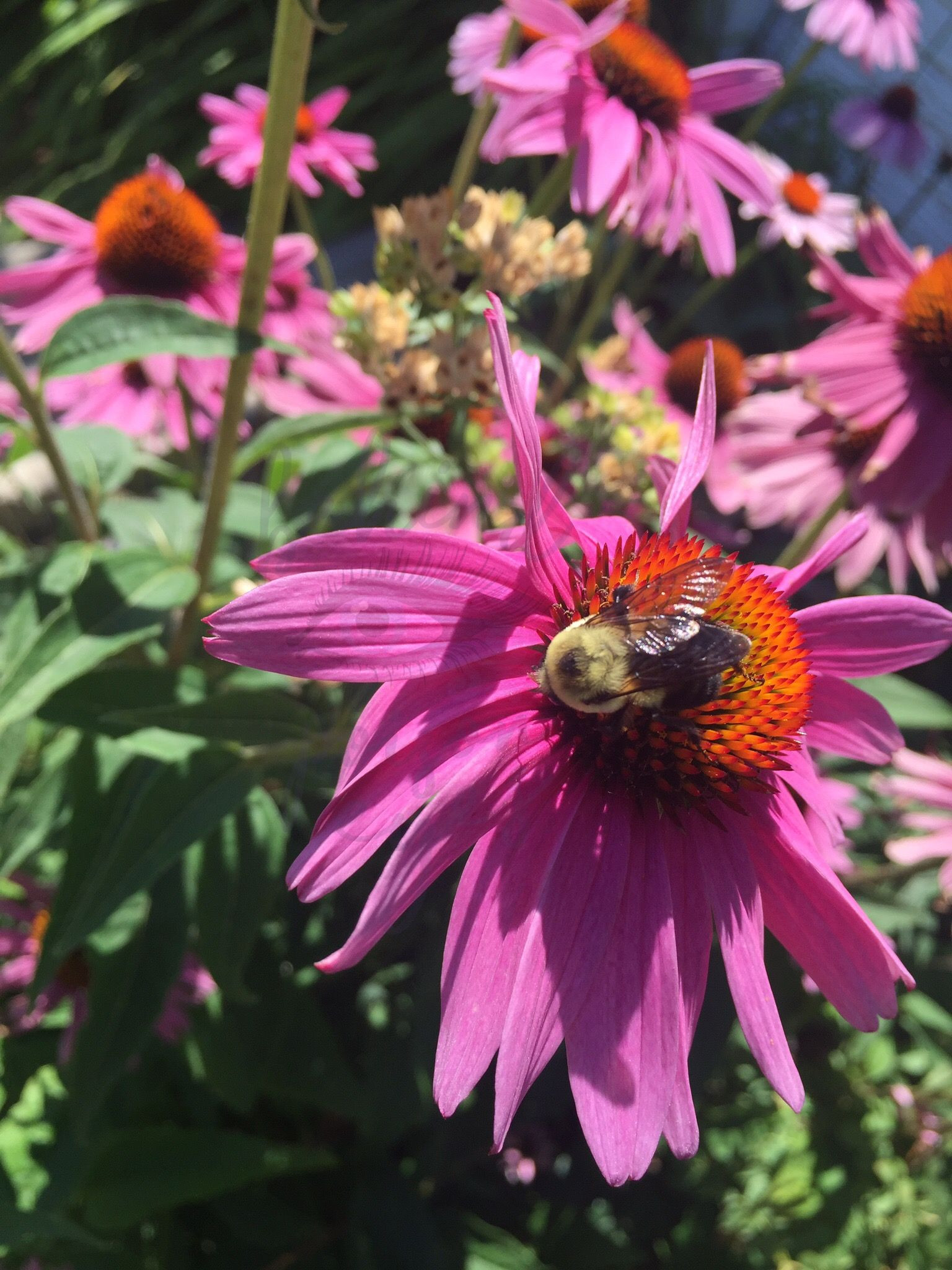 Purple cone flower with bumblebee Echinacea purpurpea Magnus