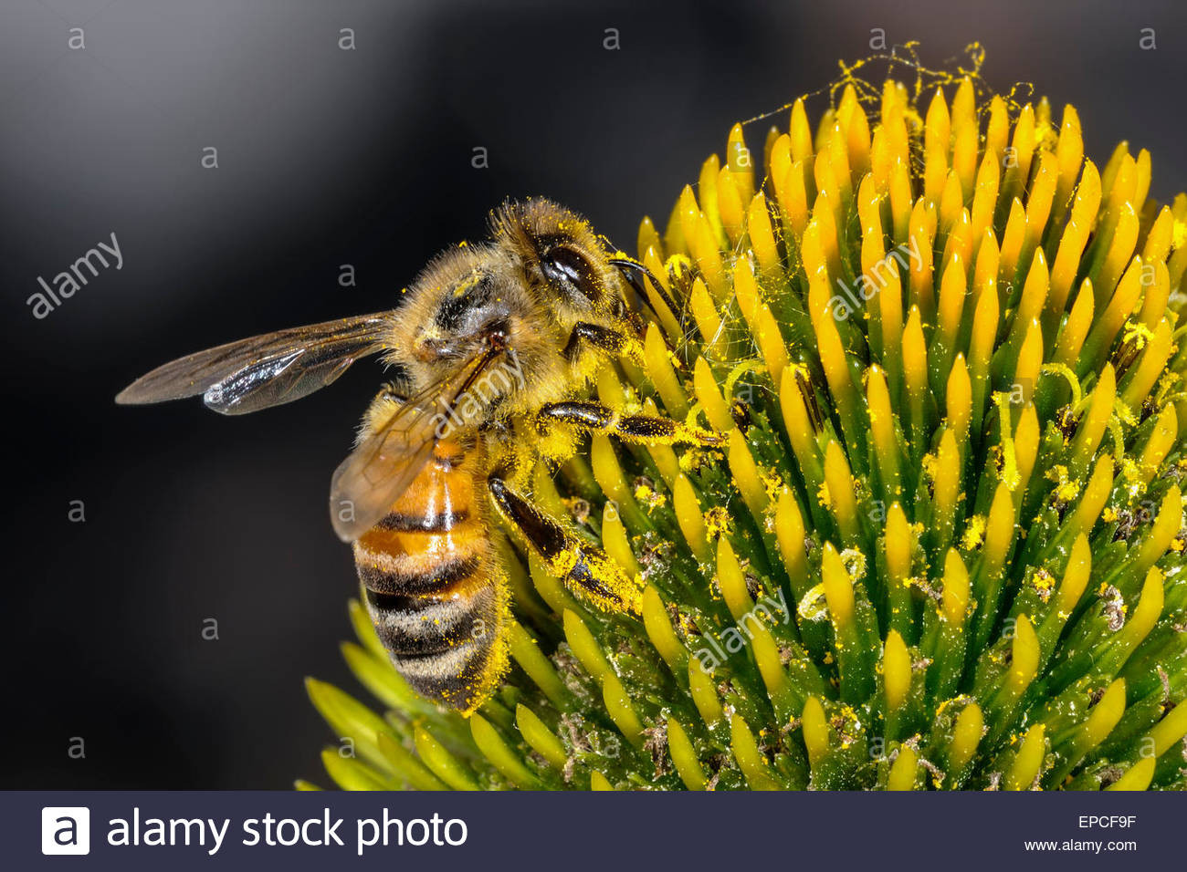 stock photo apis mellifera buckfast honey bee