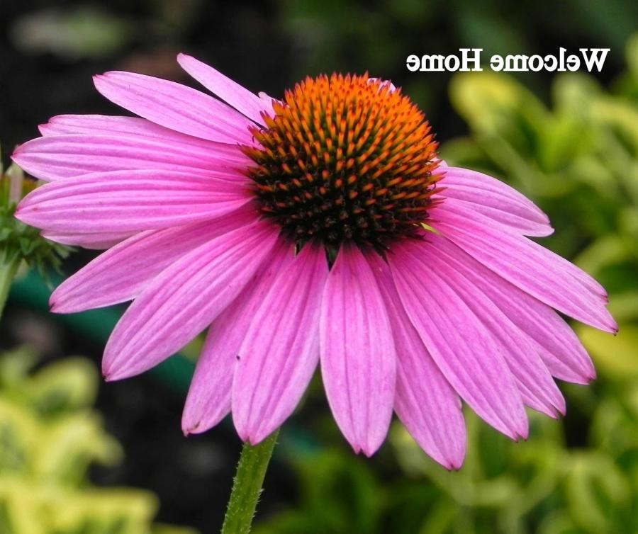 purple cone flower photo