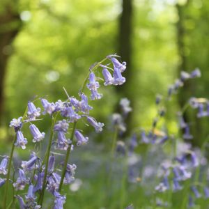 English Bluebell Flower Elegant Pin by Heather Long On the Magic Pinterest