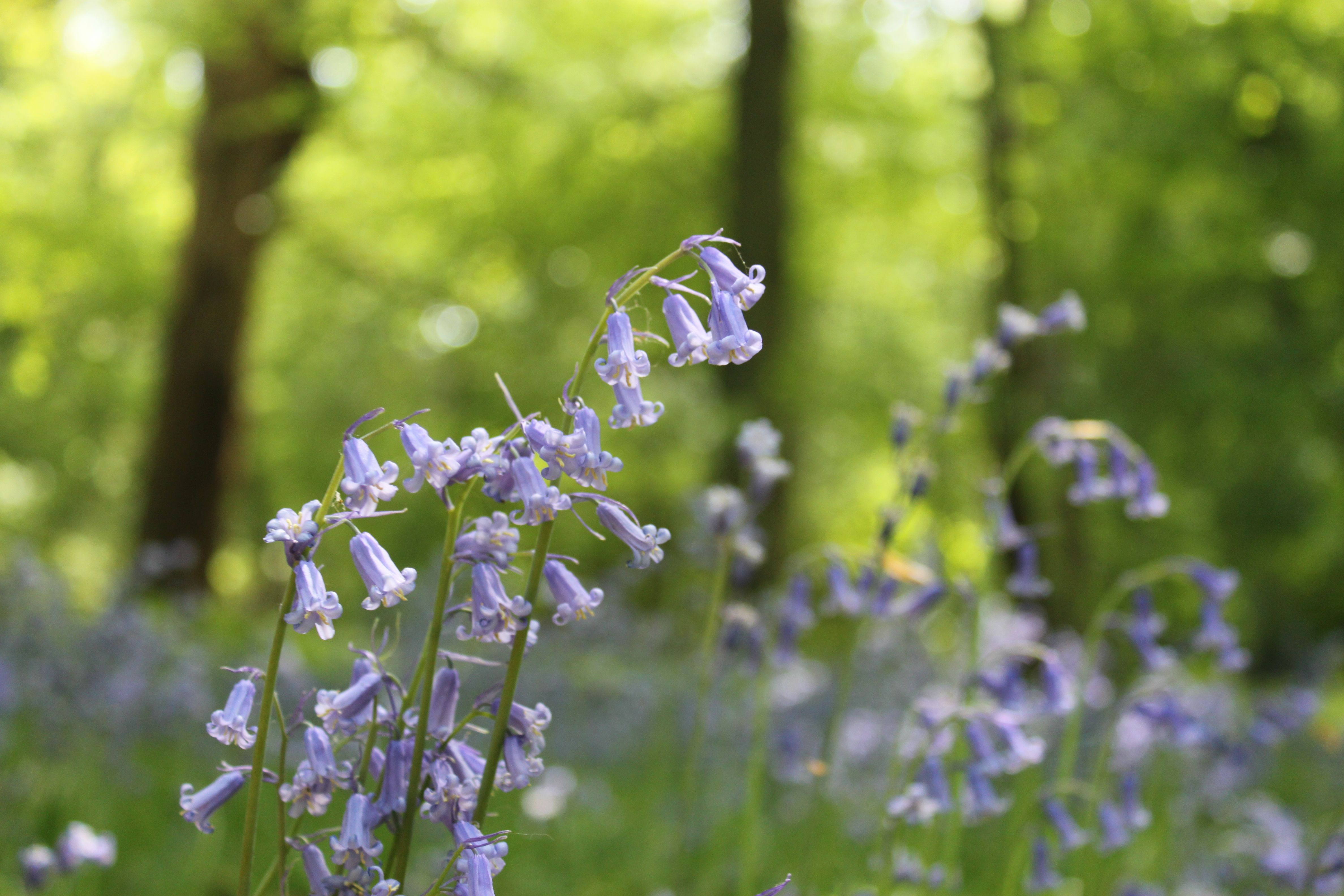 It s official English bluebell season is under way