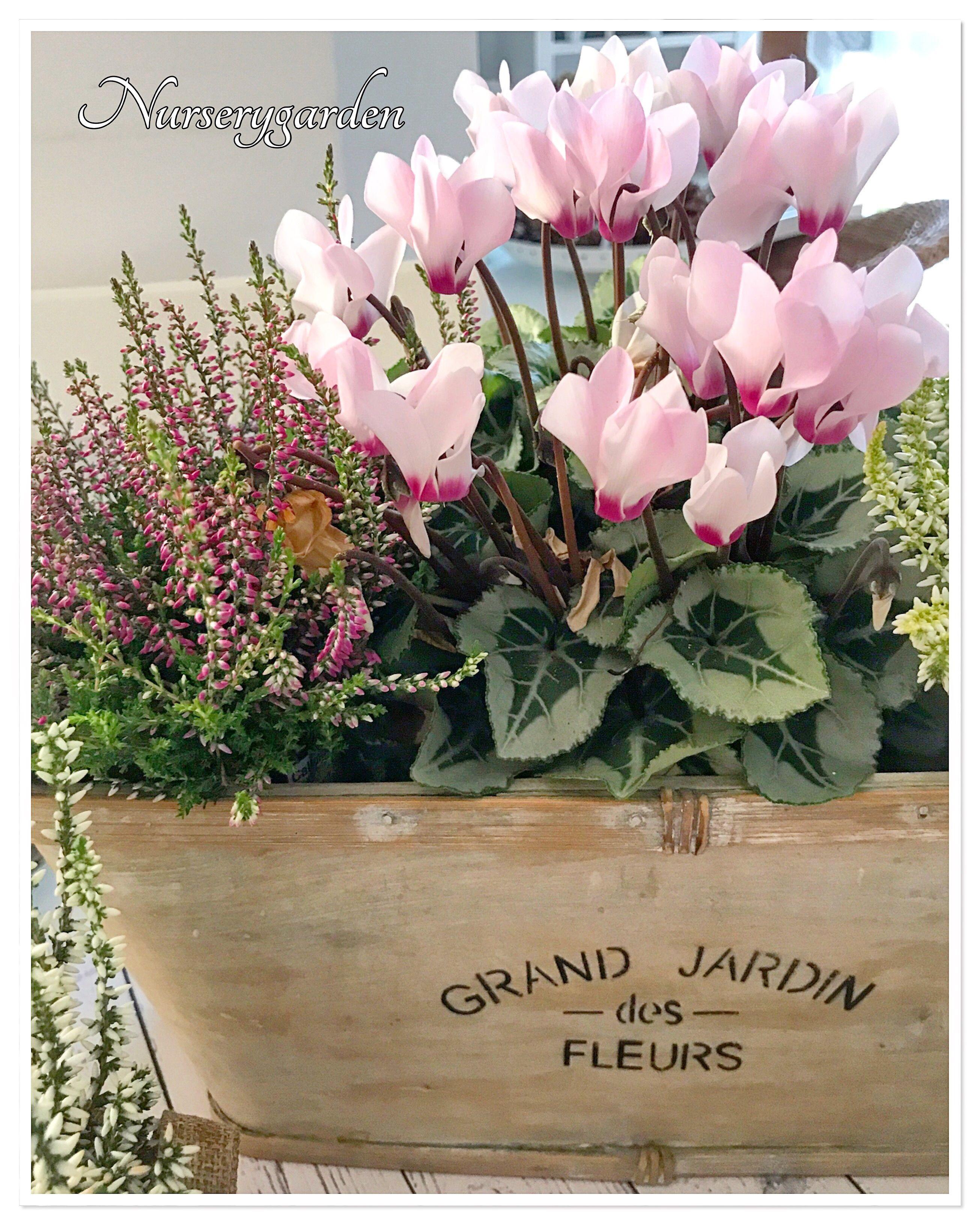 Ciclamini cyclamen Erica heather decorare garden flowers pot fall