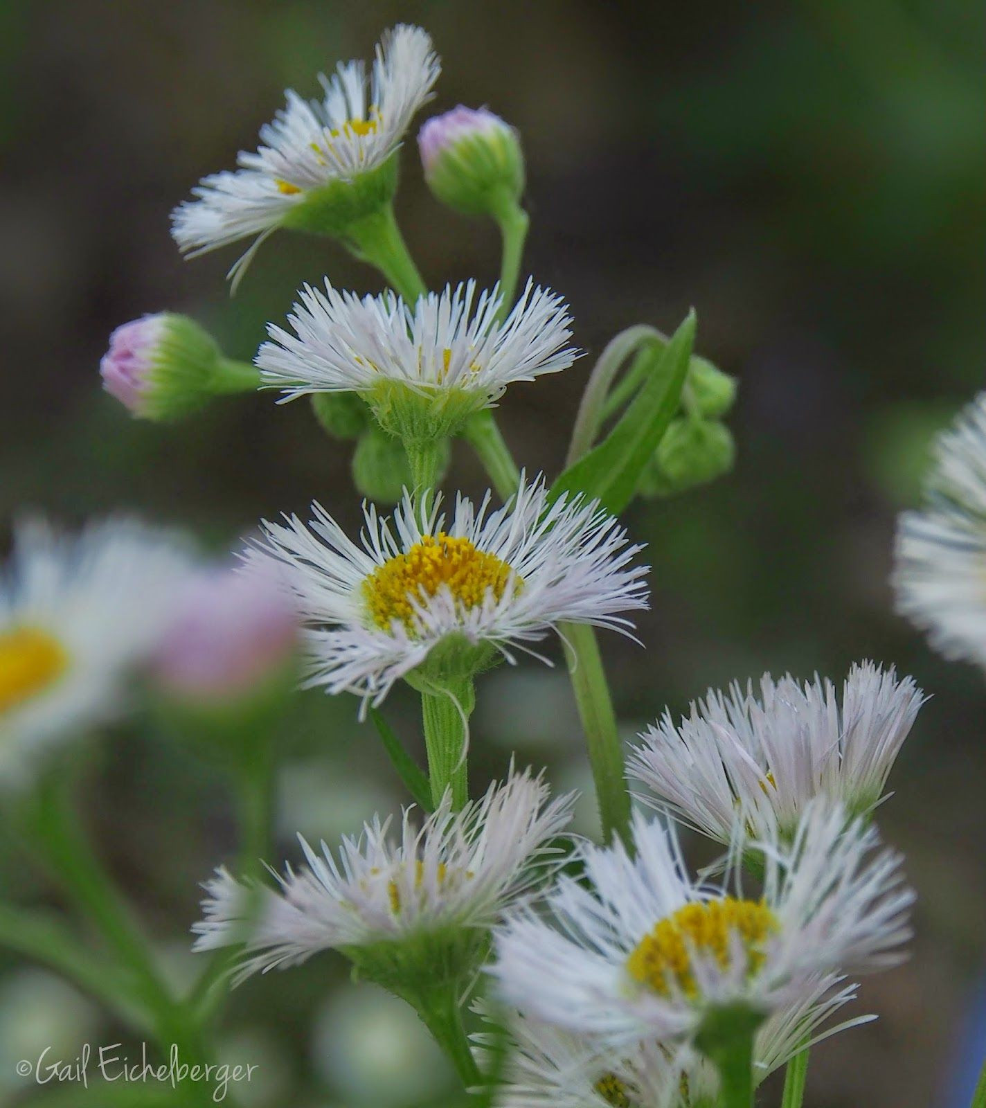 """""""Weeds are flowers too once you to know them """" A A Milne Eeyore from Winnie the Pooh Philadelphia Fleabane Erigeron philadelphicus Aster family"""