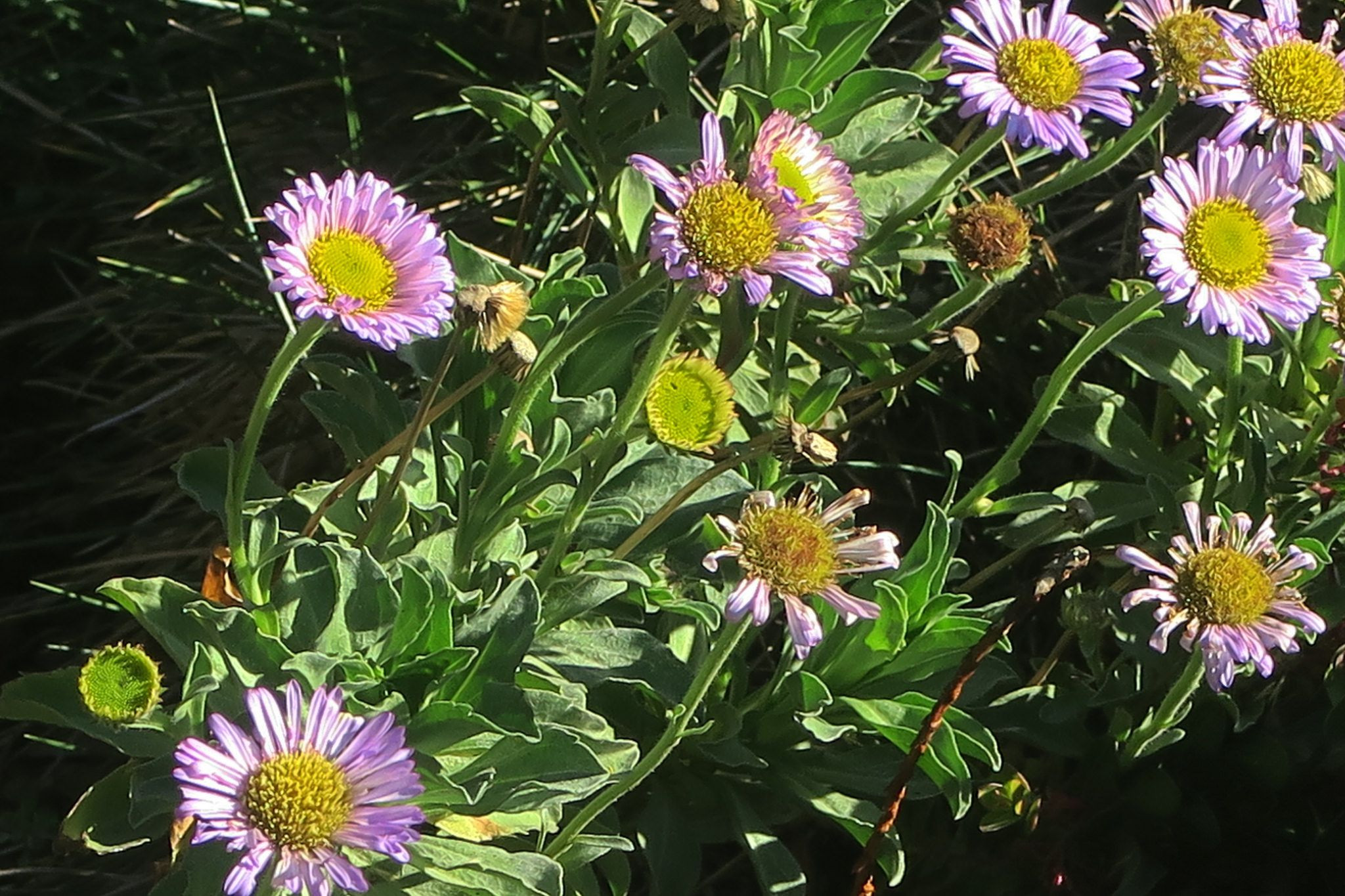Erigeron glaucus—seaside daisy Regional Parks Botanic Garden Picture of the Day 4 Dec 17