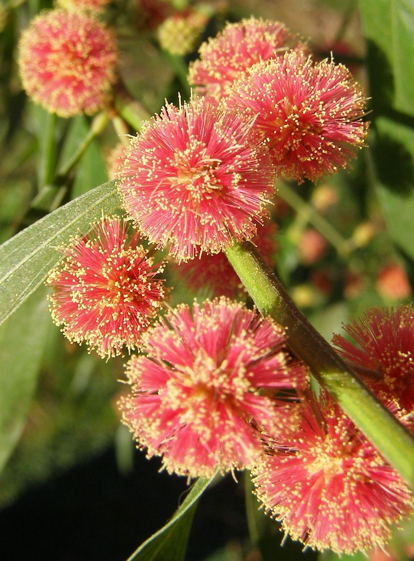 Acacia leprosa Scarlet Blaze