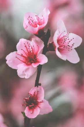 Flower Blossom Flor De Cerezo Dibujo Beautiful Flower Arrangements